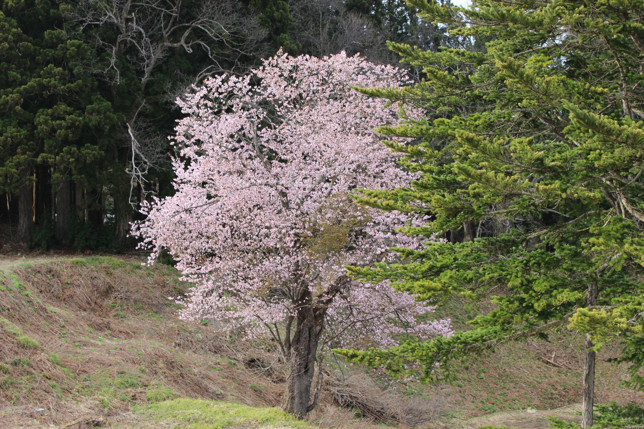 4月 上岩倉の桜(上岩倉)