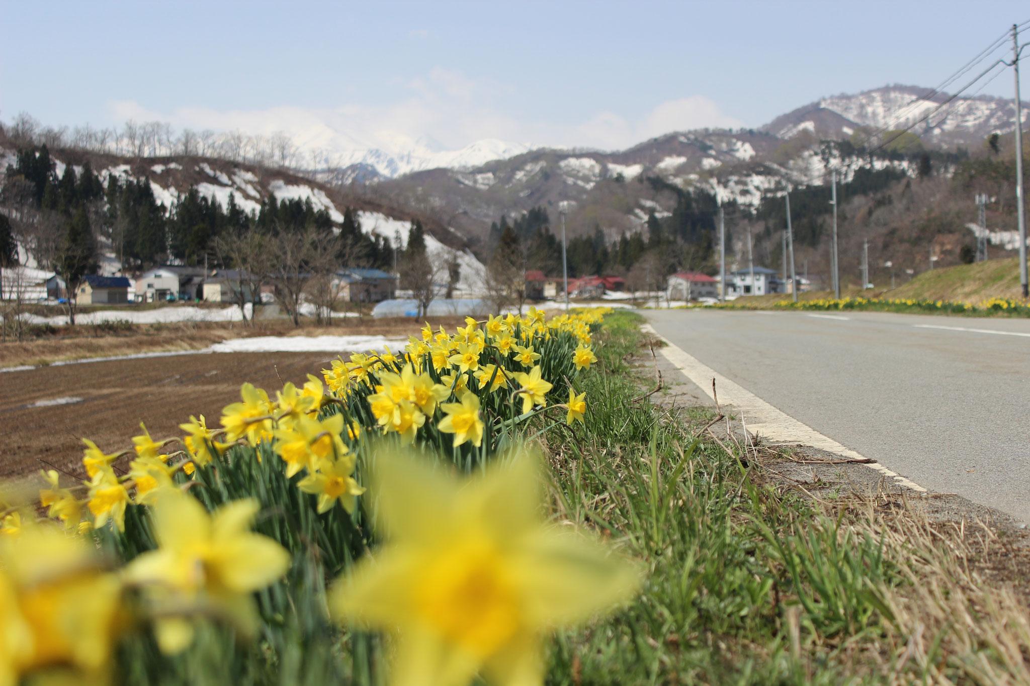 4月 水仙ロードと飯豊山(上屋地)