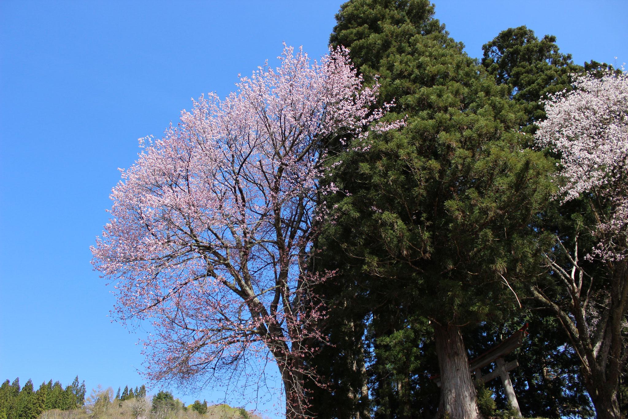 4月 羽黒神社の桜(小屋)