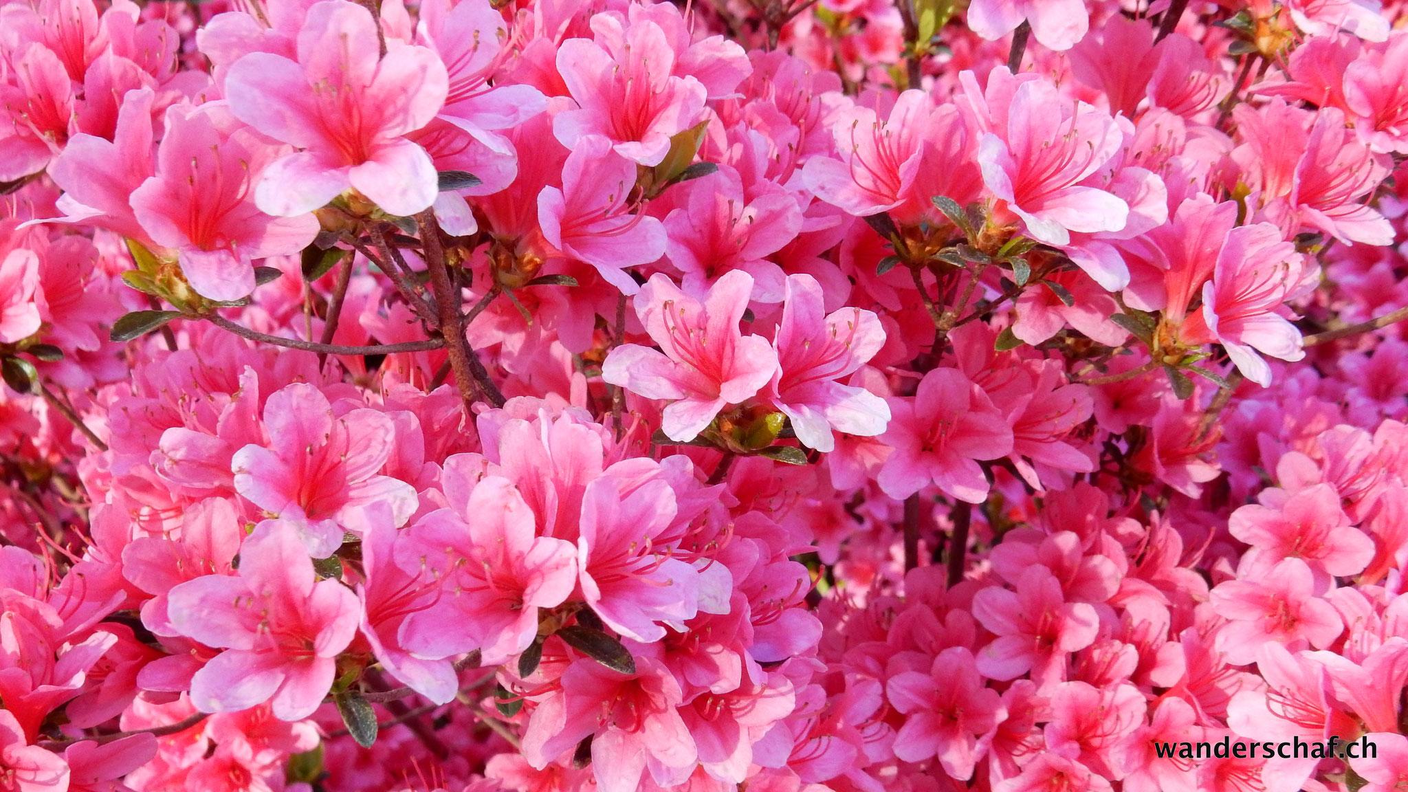 Blütenpracht......
