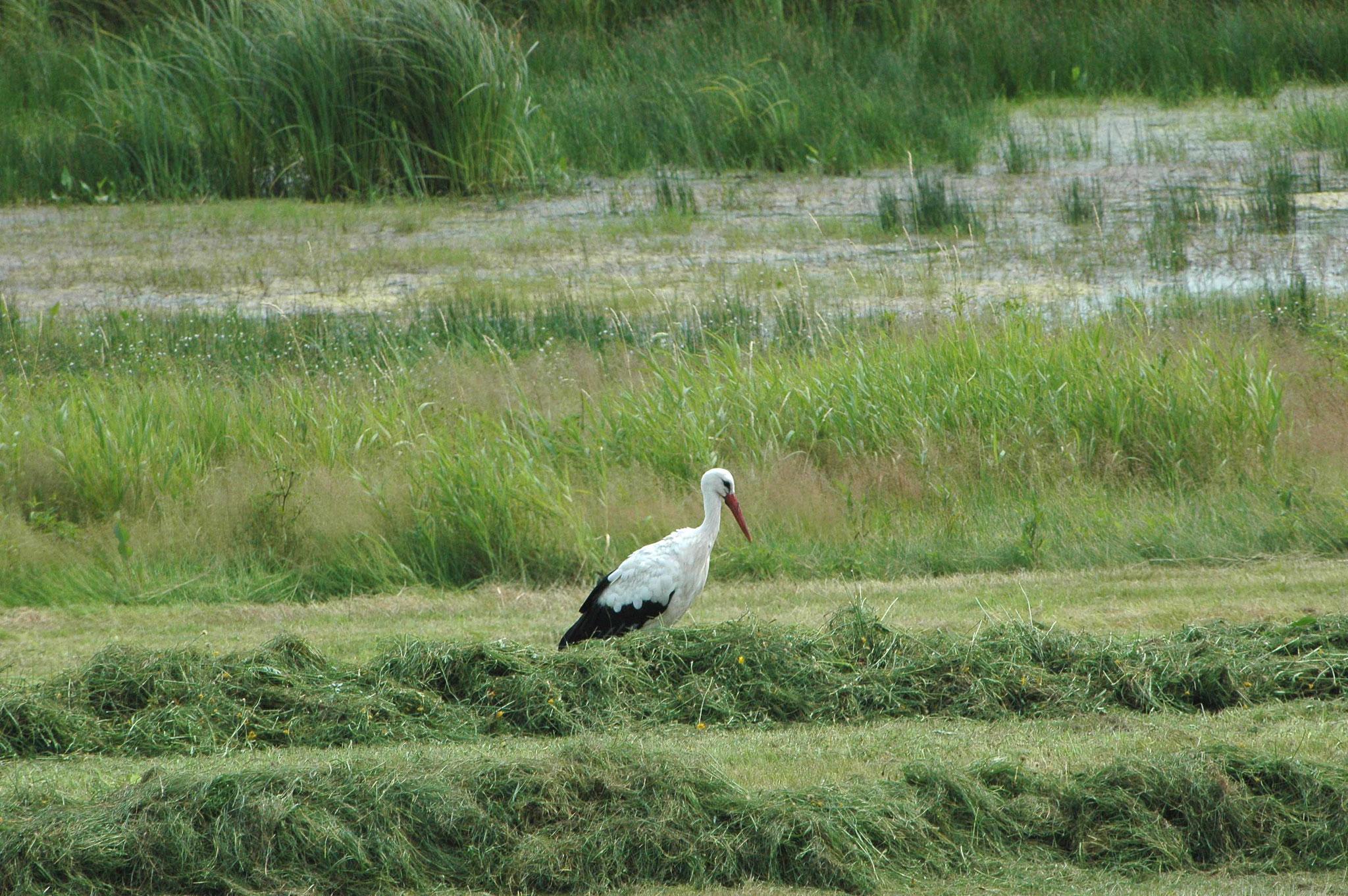 Das Nahrungsangebot reicht derzeit für die Störche nicht mehr aus. Seit 2003 ist der Weißstorch aus dem Umfeld des Vogelschutzgebietes als Brutvogel verschwunden. Foto: M. Steven