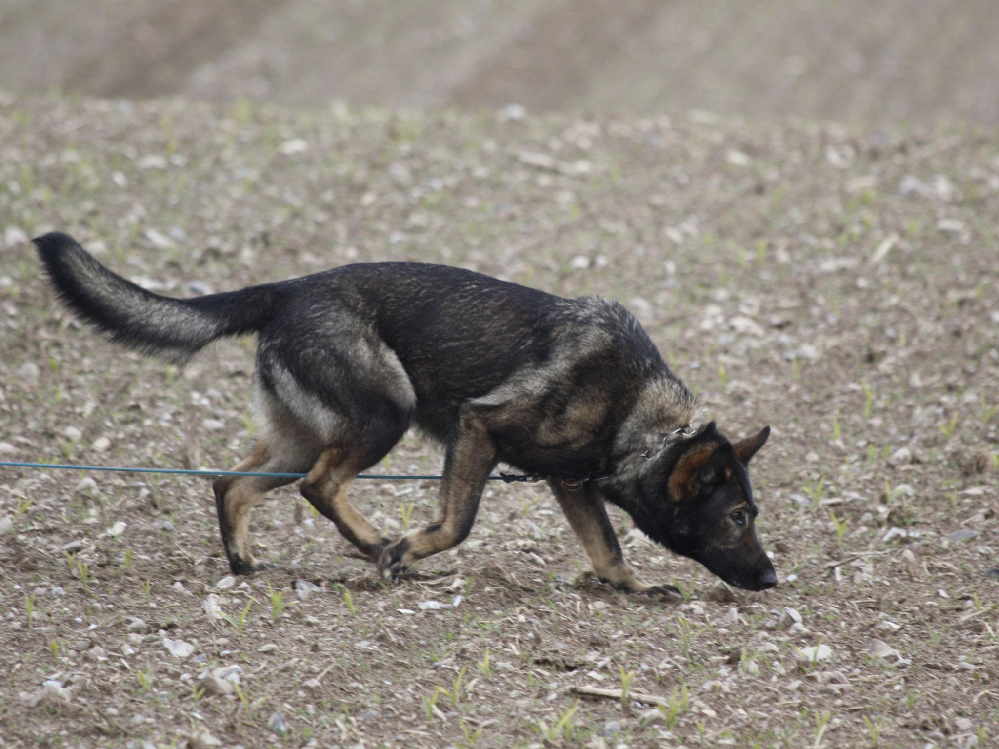 Fährtenhundearbeit