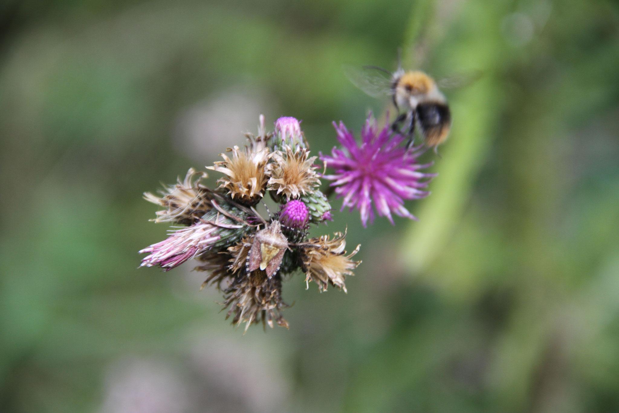 Die letzte Distelblüte wird von einer Hummel und einem Insekt besucht