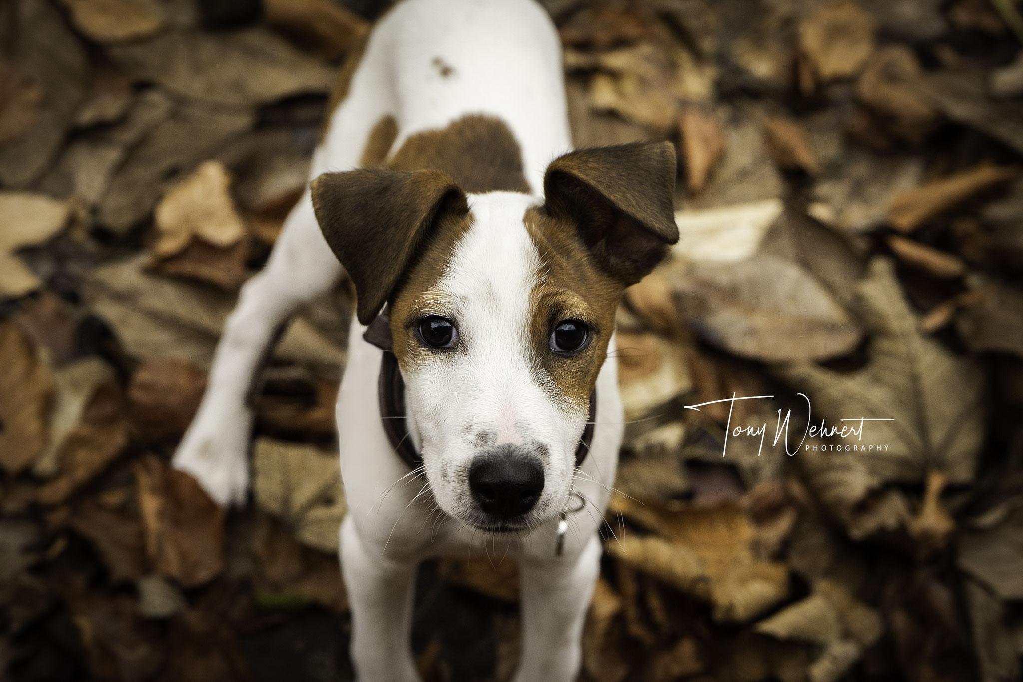 Jackrussel Terrier Tierportrait