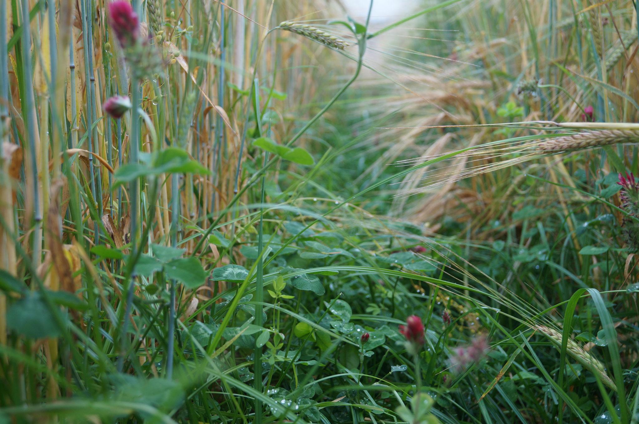 Blühende Untersaat in der Sommergerste
