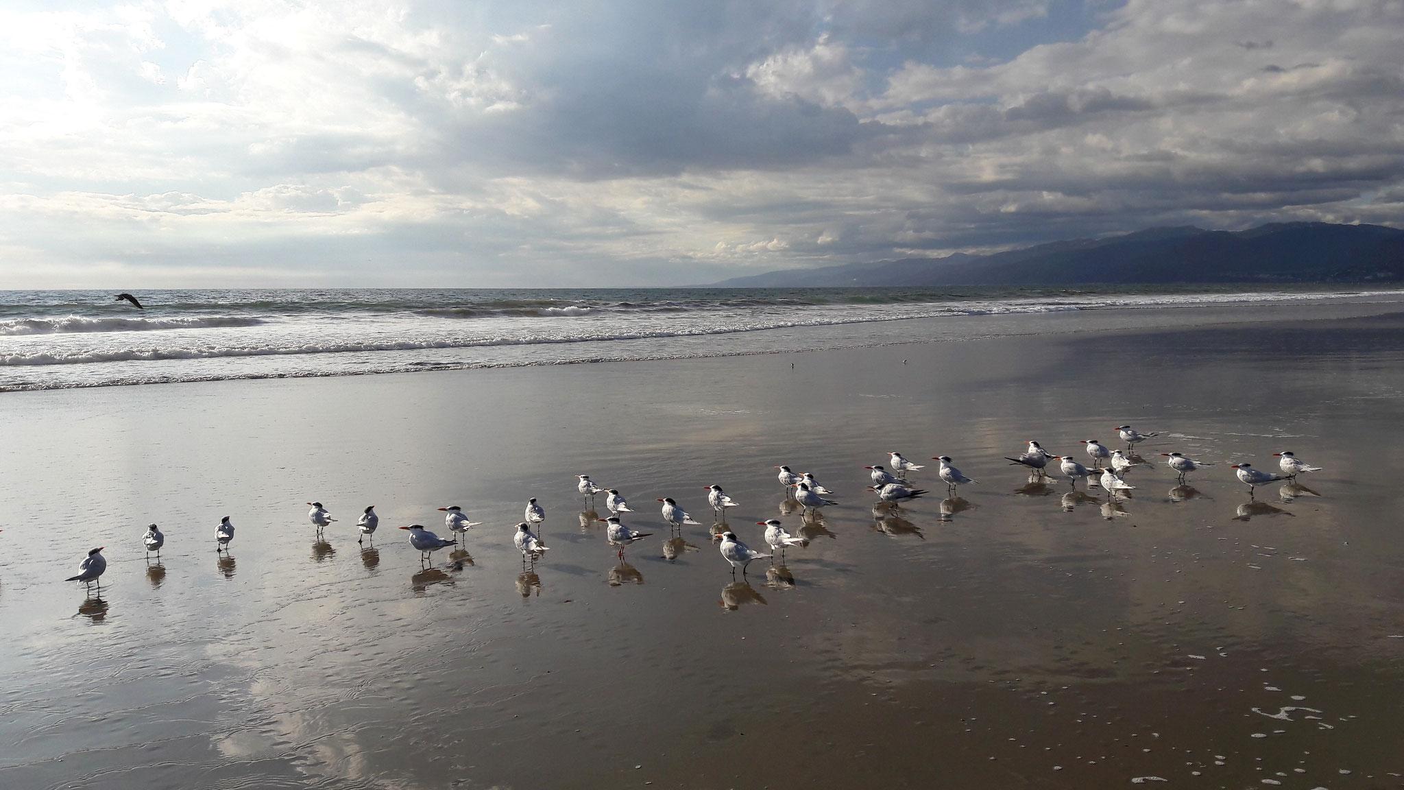 Am Meer müssen die Möwen nicht immer in der Ferne fliegen. Manche Vögel bleiben auch einfach entspannt sitzen, während du mitten durch den Haufen läufst.