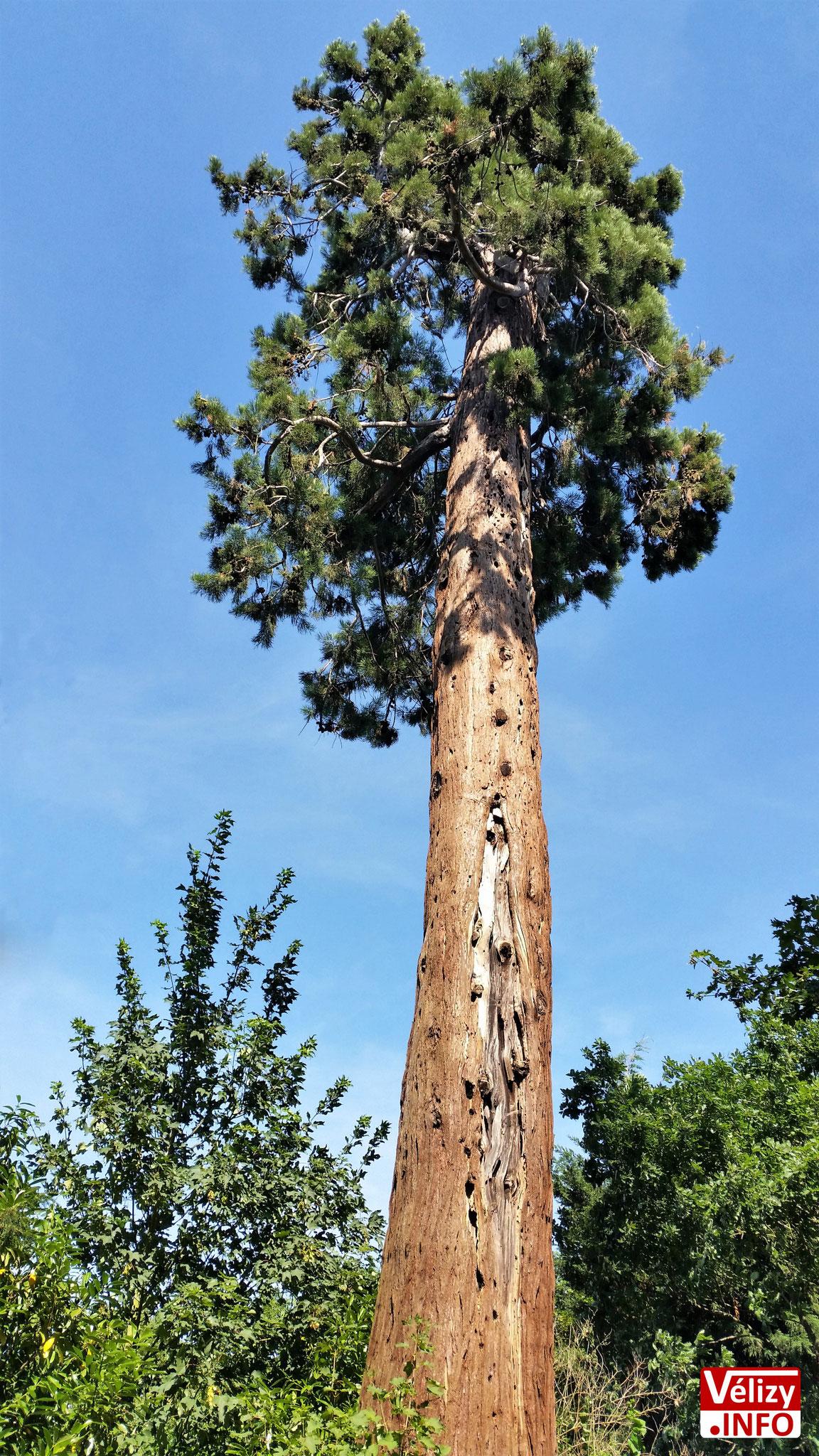 Un séquoia géant - Domaine de Montreuil dit de Madame Élisabeth – Versailles.