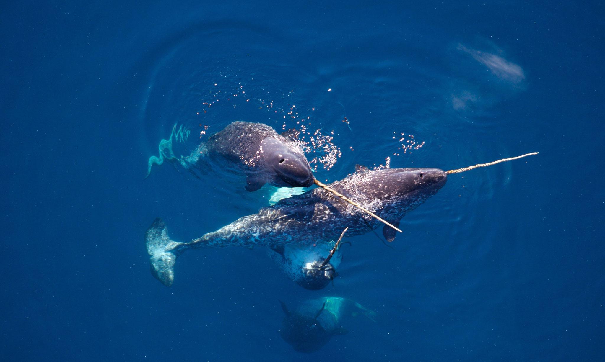 Narvals dans l'océan Arctique.