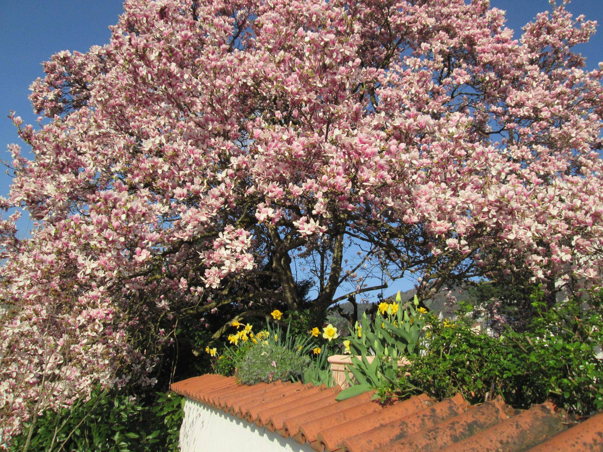 Blühender Magnolien-Baum