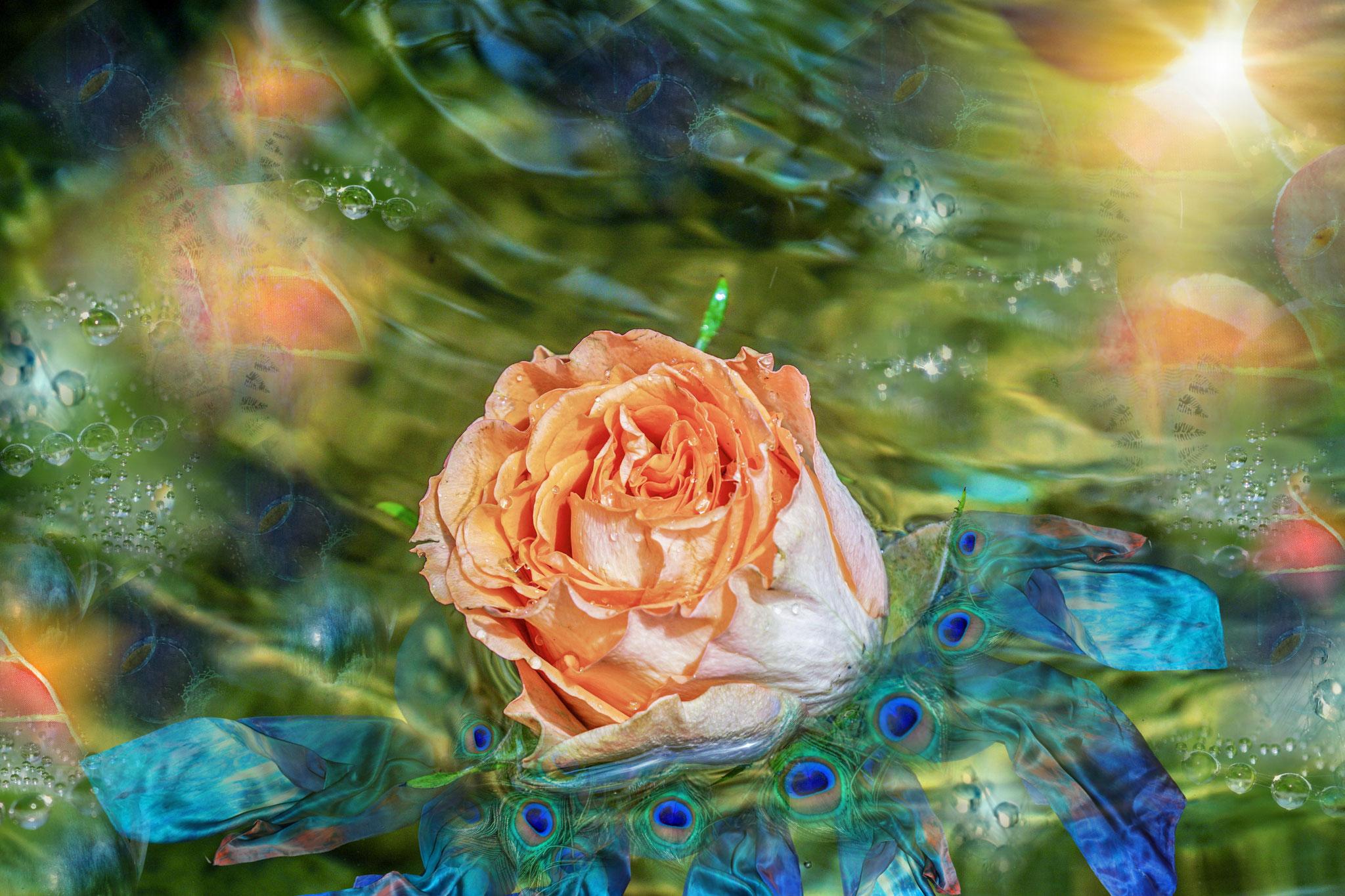 2 - Wasser-Rose
