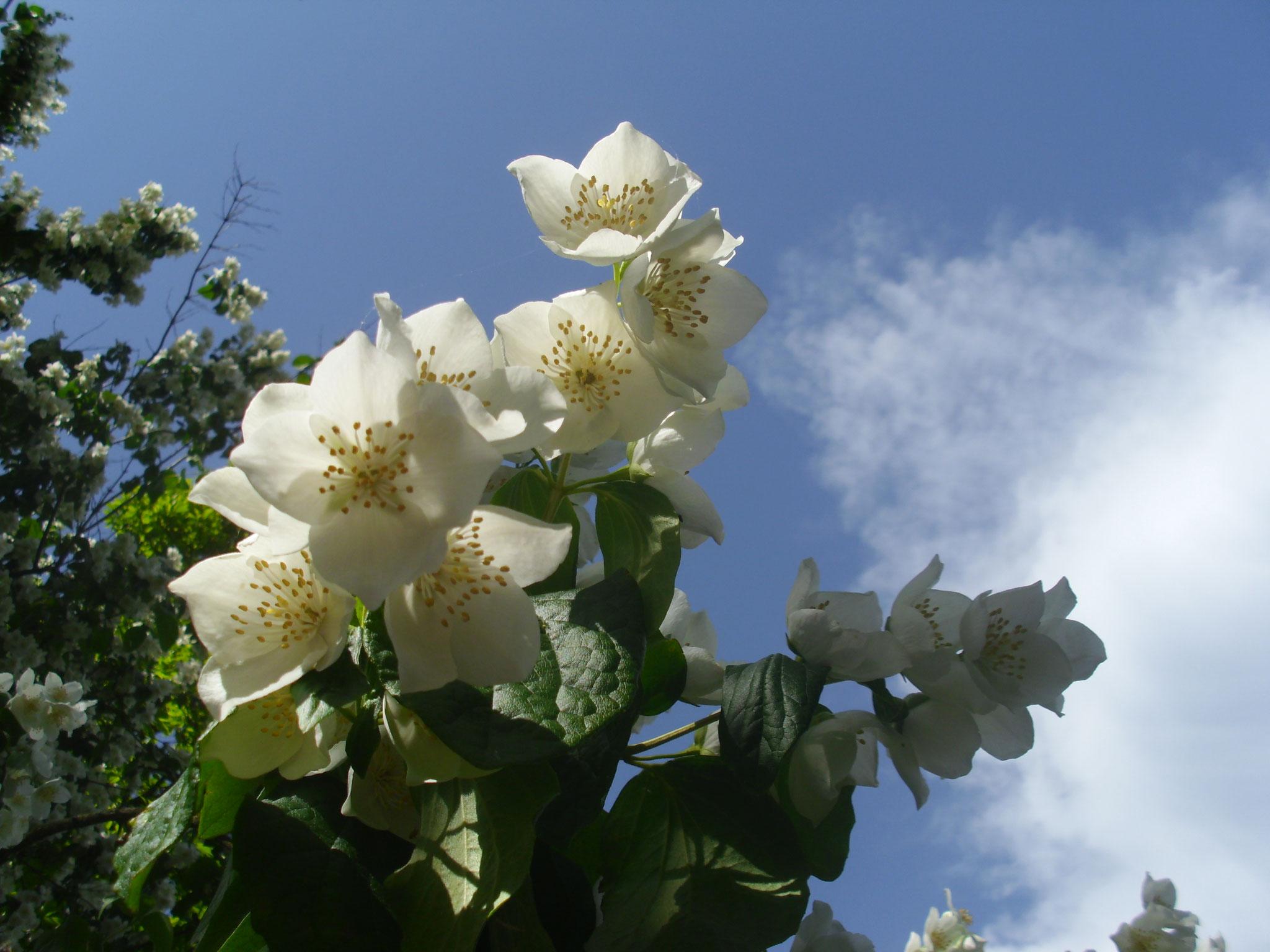 Fein duftende Jasminblüten
