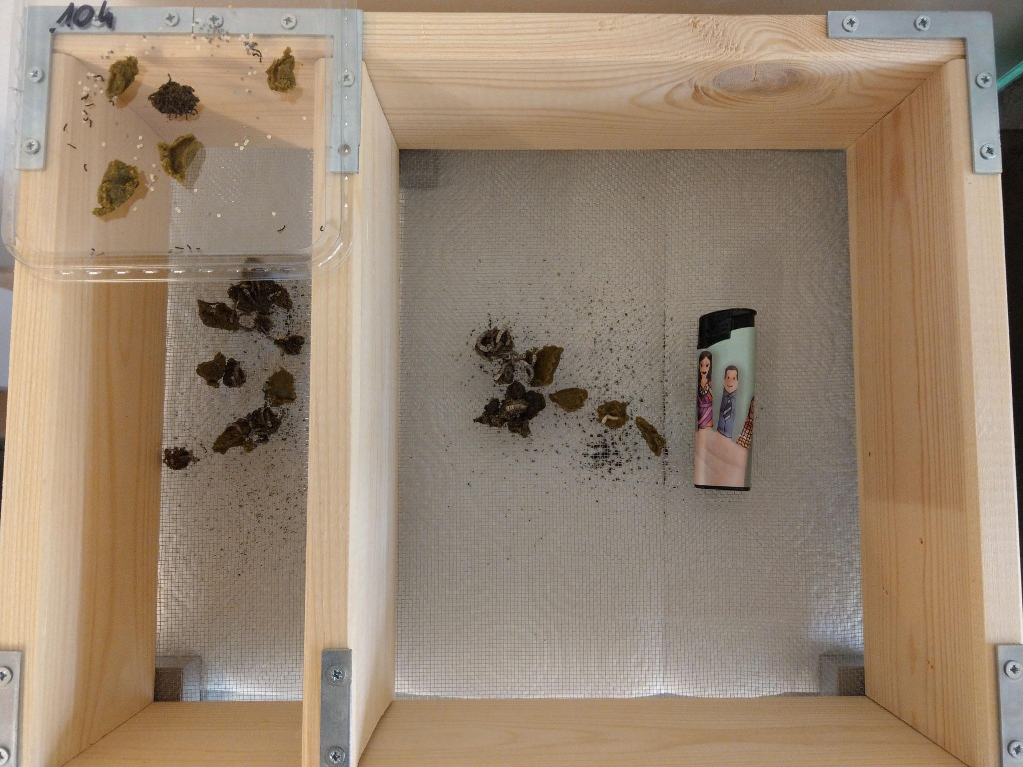 Die frisch geschlüpften Raupen können noch nicht in das Aufzuchtgestell, da sie selbst durch das Gitter fallen würden.