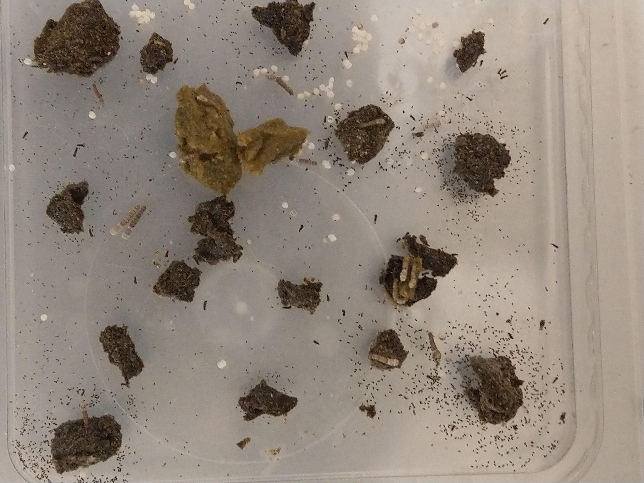 Tag 25: inzwischen haben ziemlich alle Raupen die 1. Häutung hinter sich