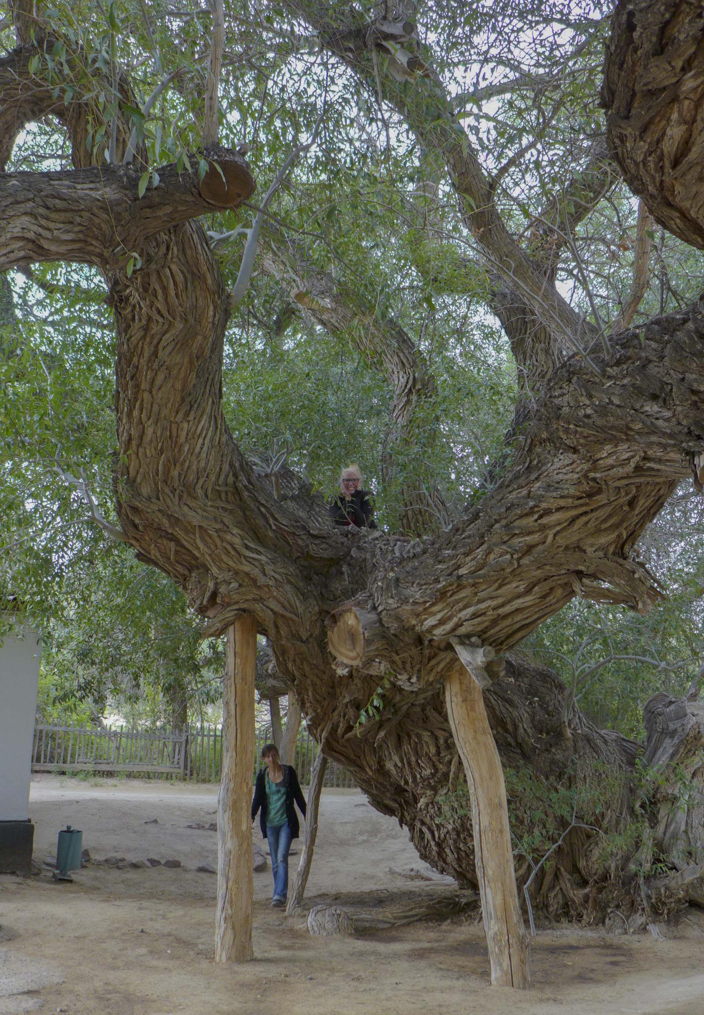 zum 700 Jahre alten Baum.
