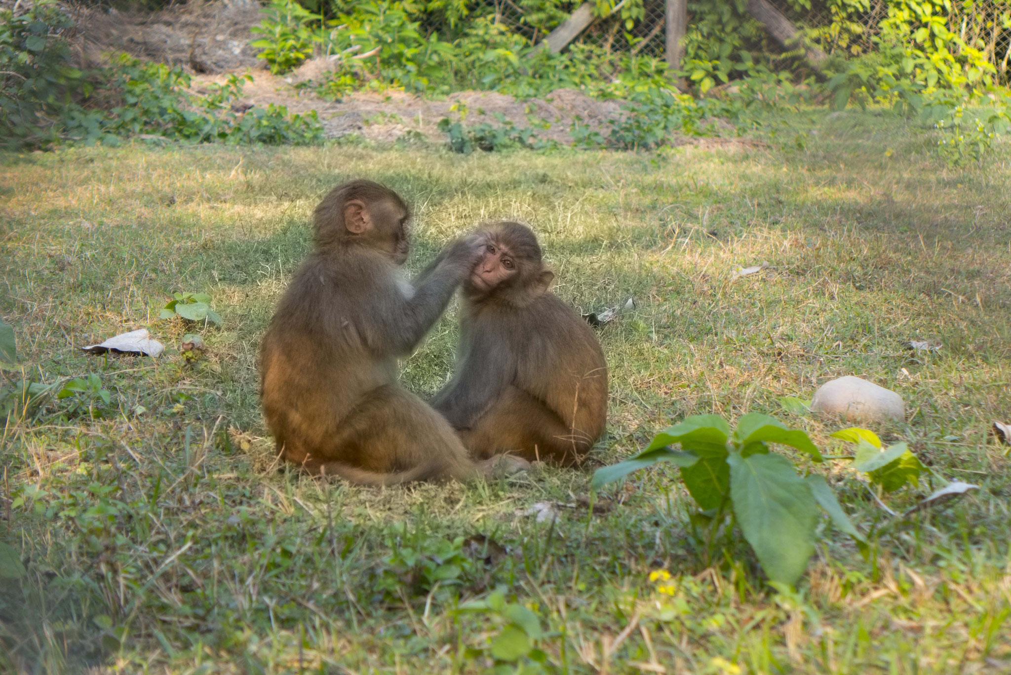 Nur die Affen spielen schon.