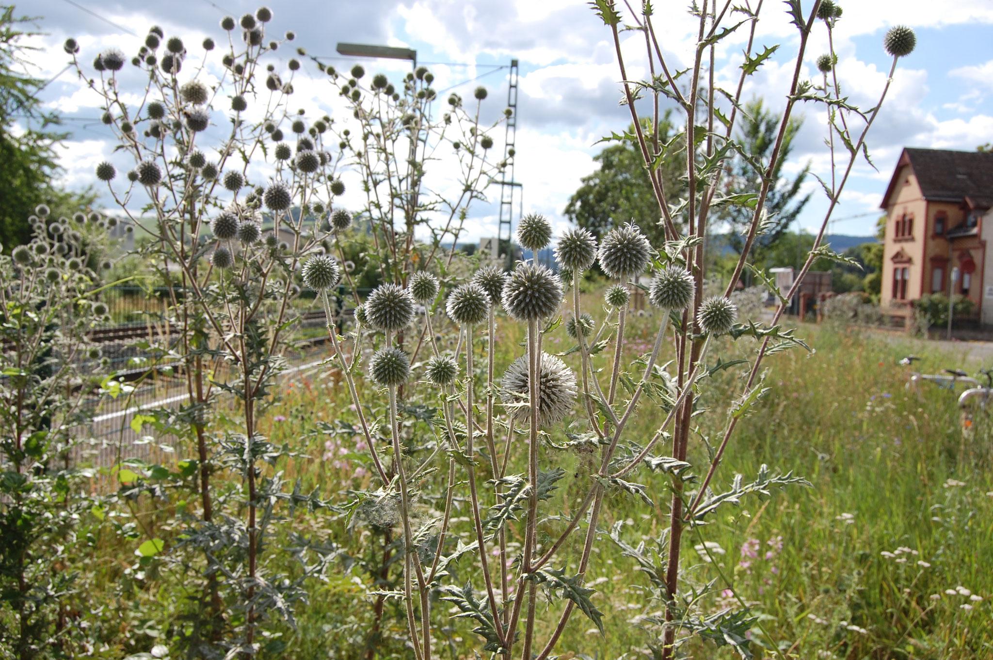 Kugeldistel (als Gartenflüchtling nicht unumstritten, aber wertvolle Trachtpflanze), Sommer 2020