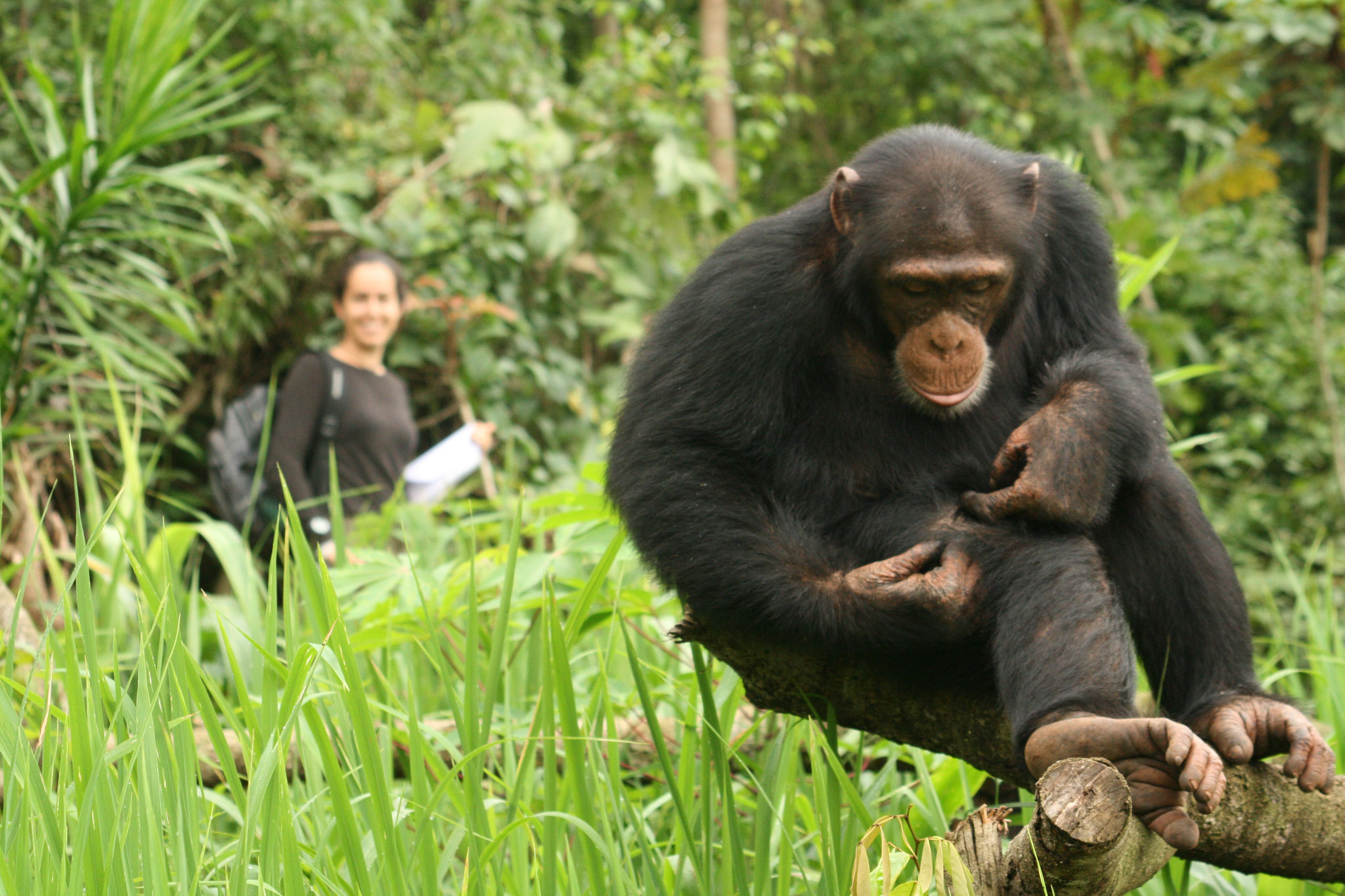 Dr Kimberley Hockings collecting behavioural data on wild chimpanzees in west Africa