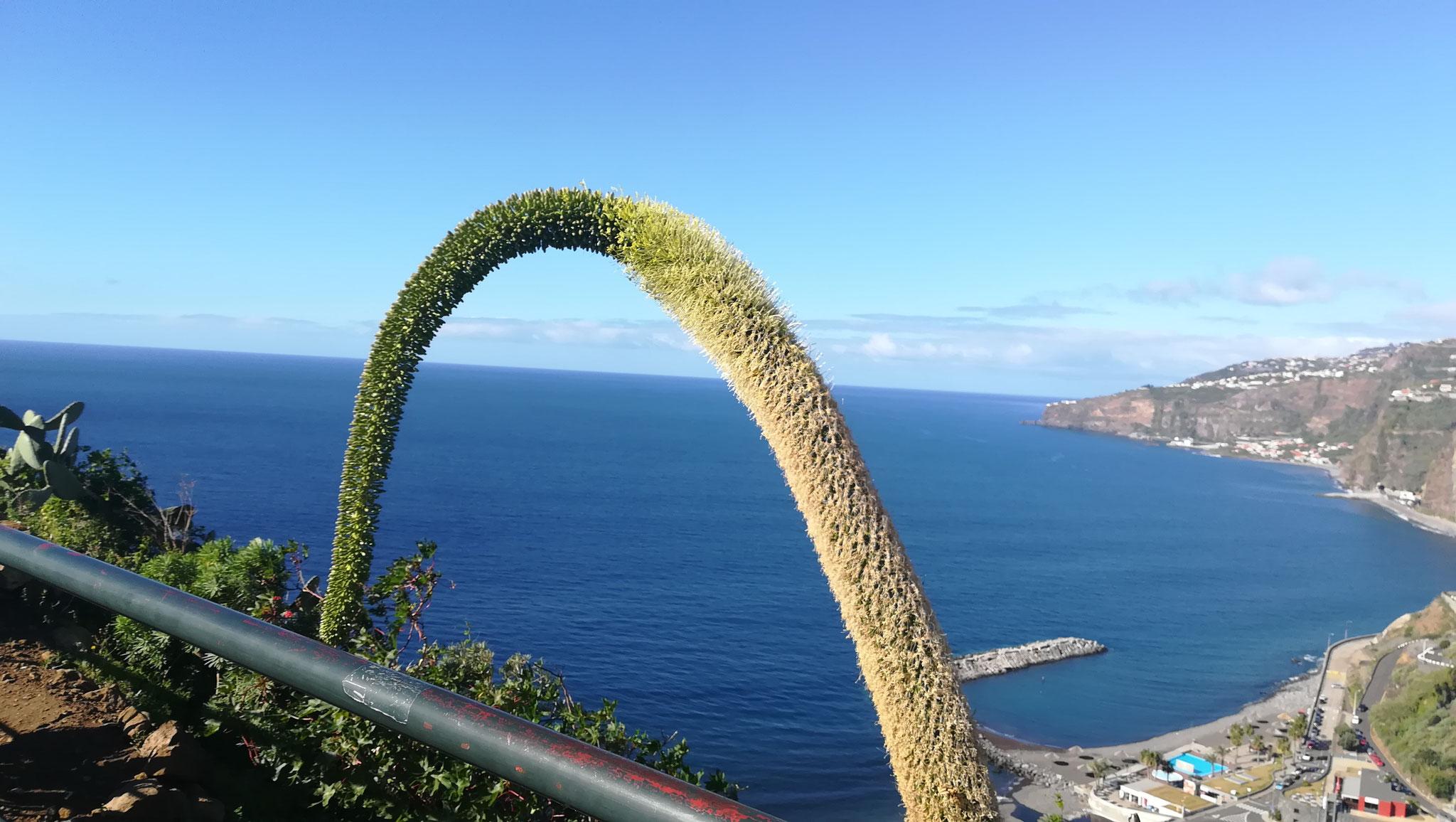 Meine Lieblingspflanze auf Madeira