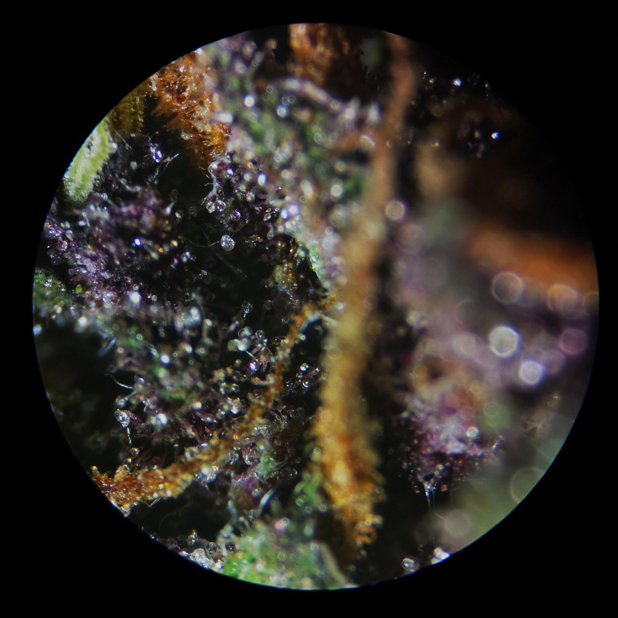 Purple DIABOLICA