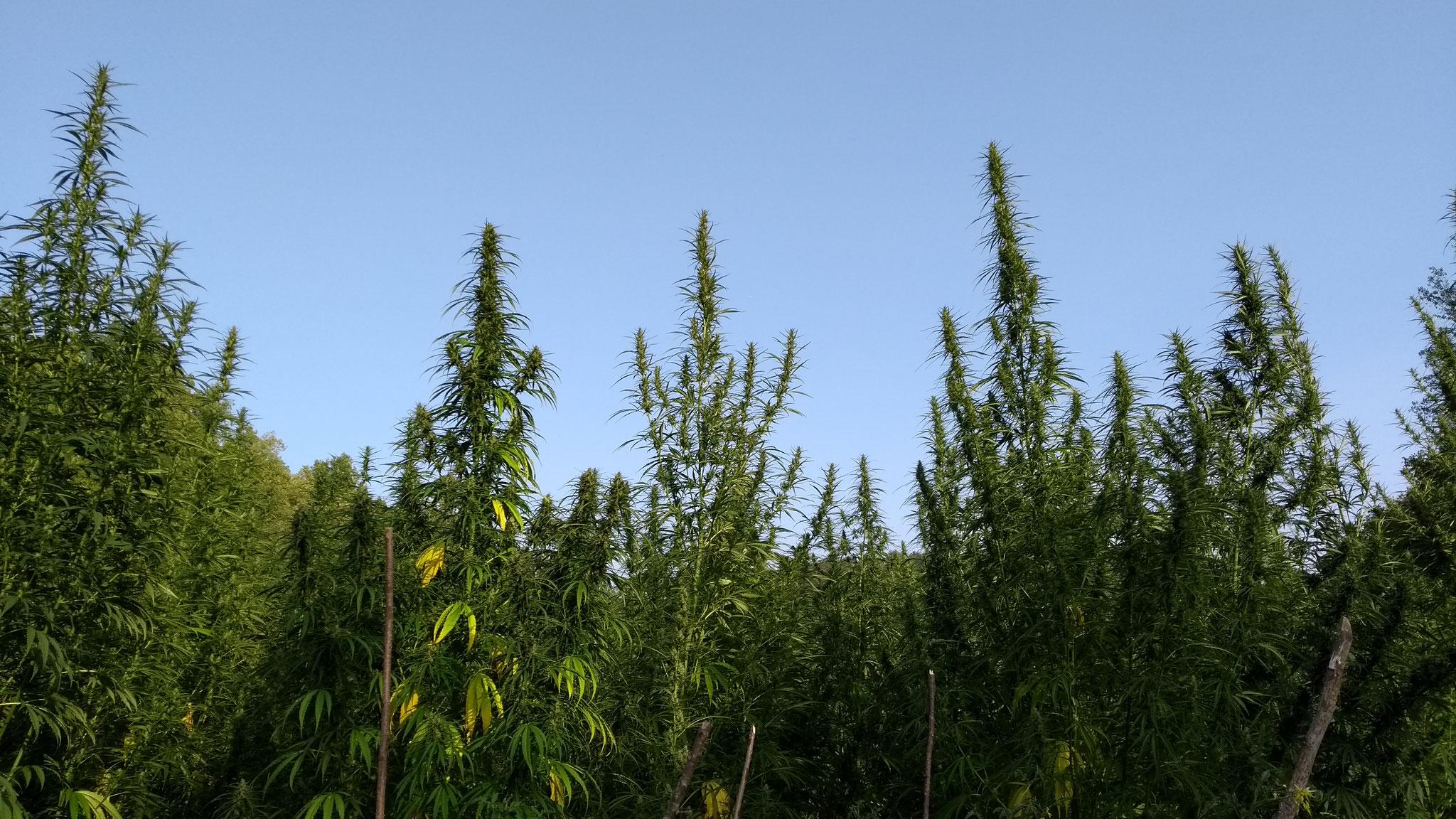 canapa bush