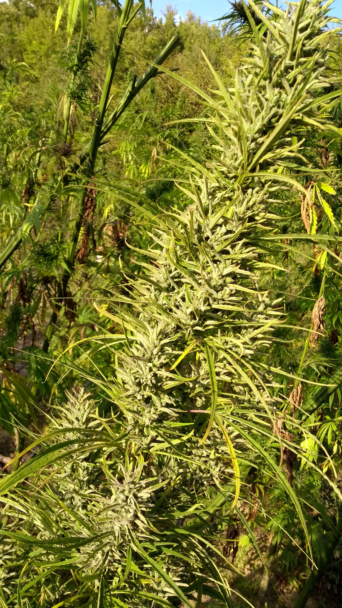 tiborszallasi hemp