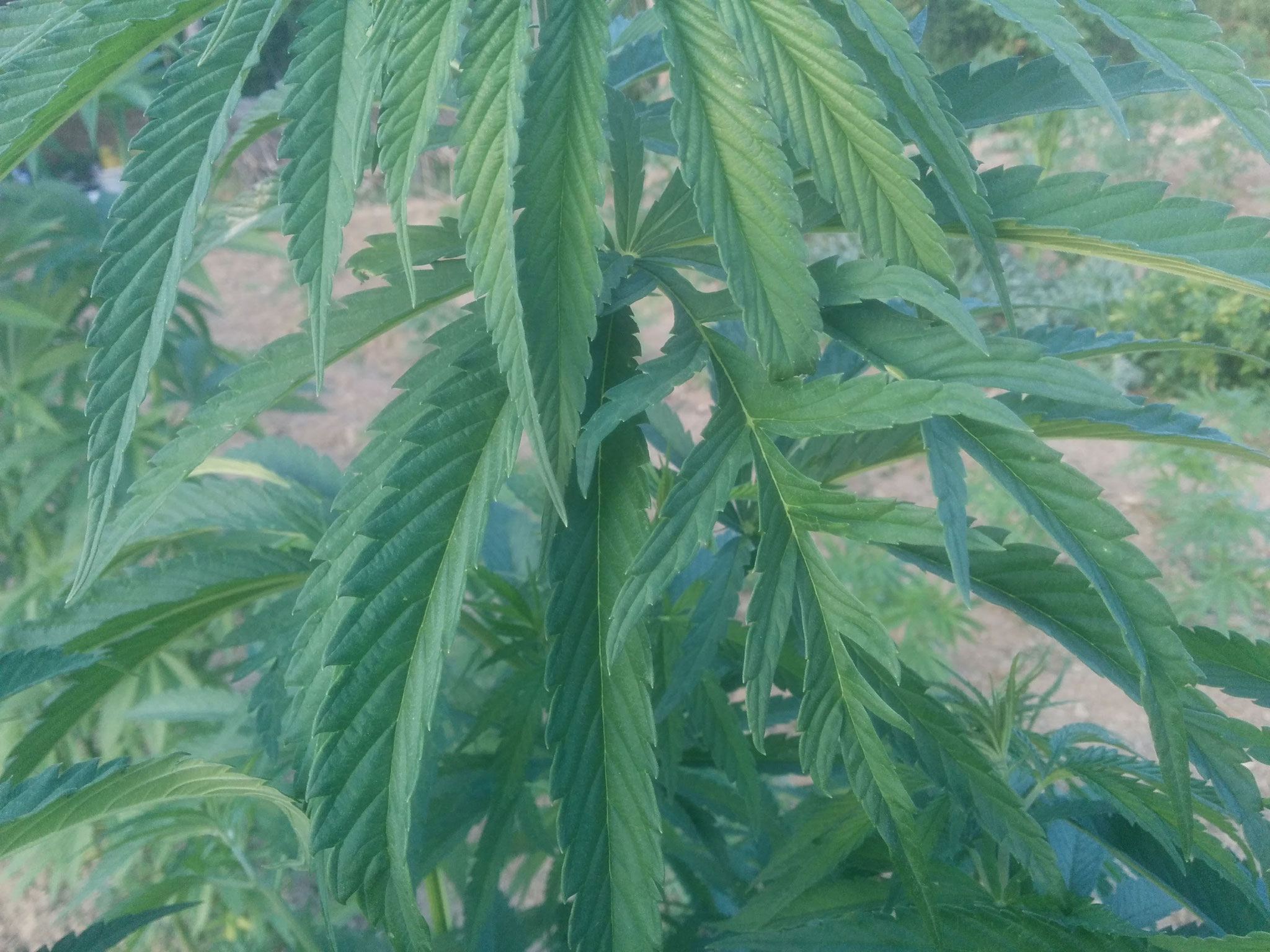 foglia cannabis eletta freakshow