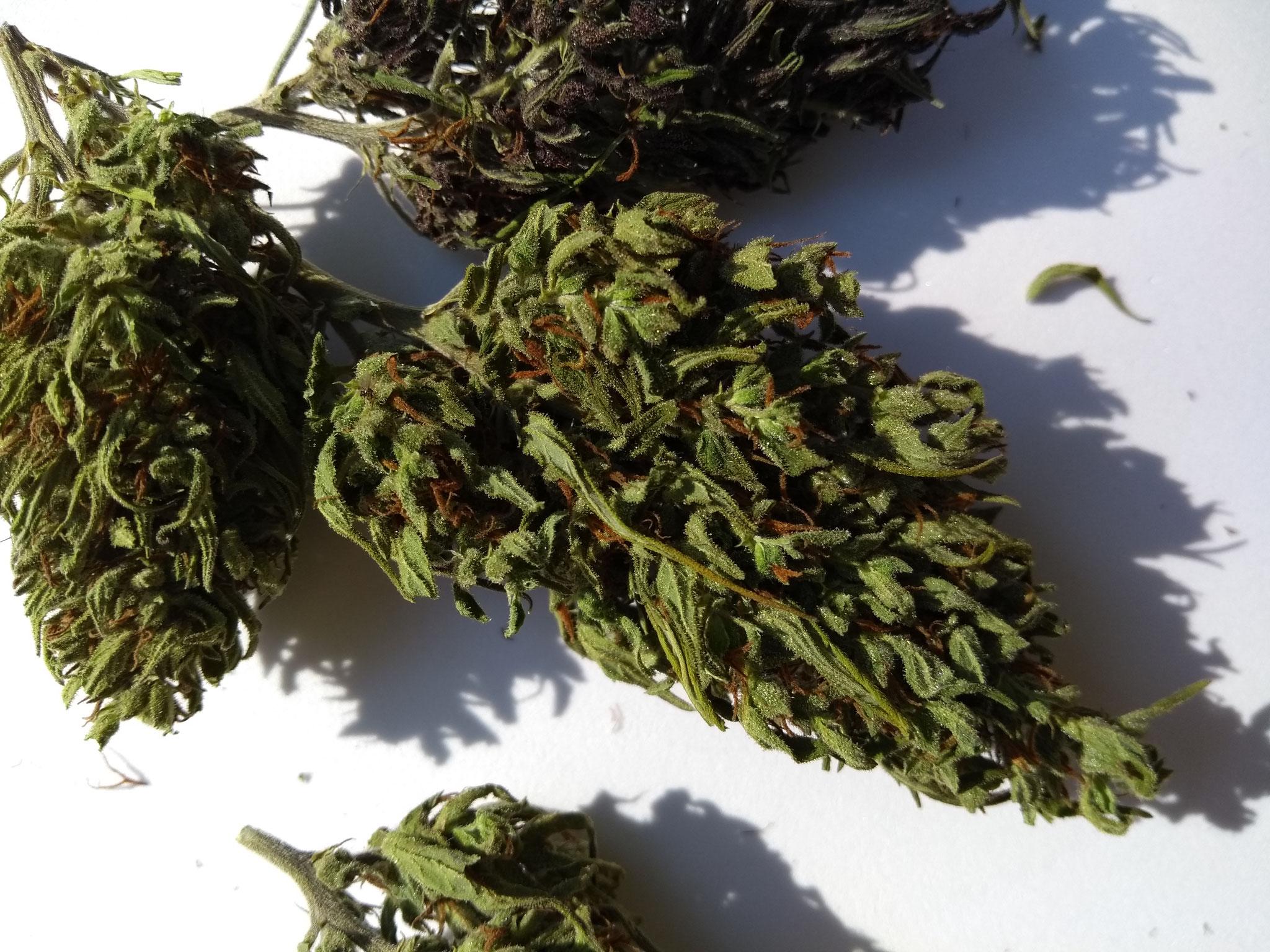 cnnabis legale