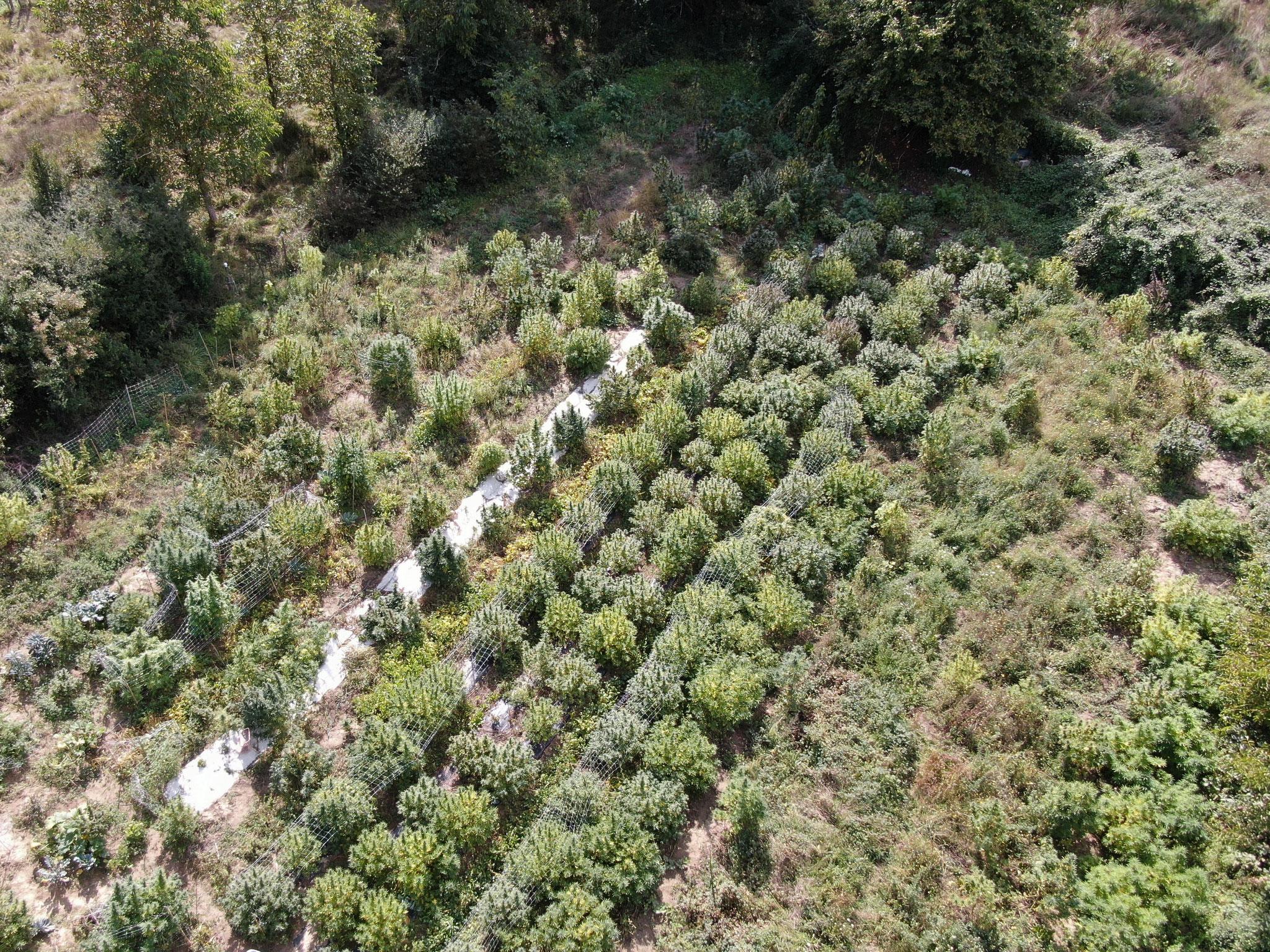 campo di canapa Ara