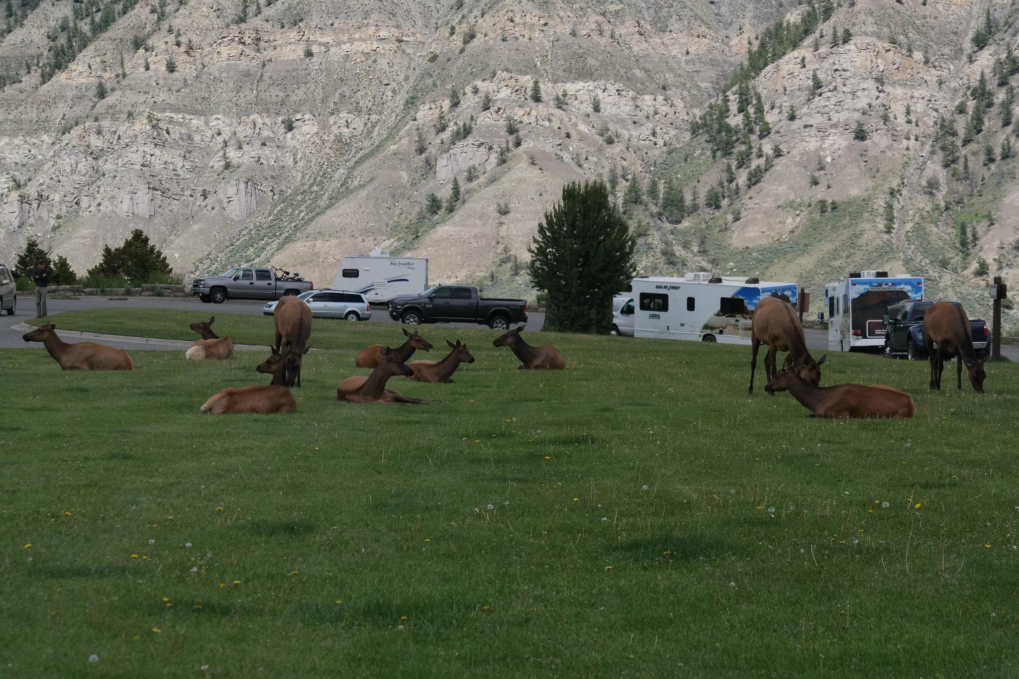 """Die Ortsmitte von Mammoth wird von """"Elks"""" belagert"""