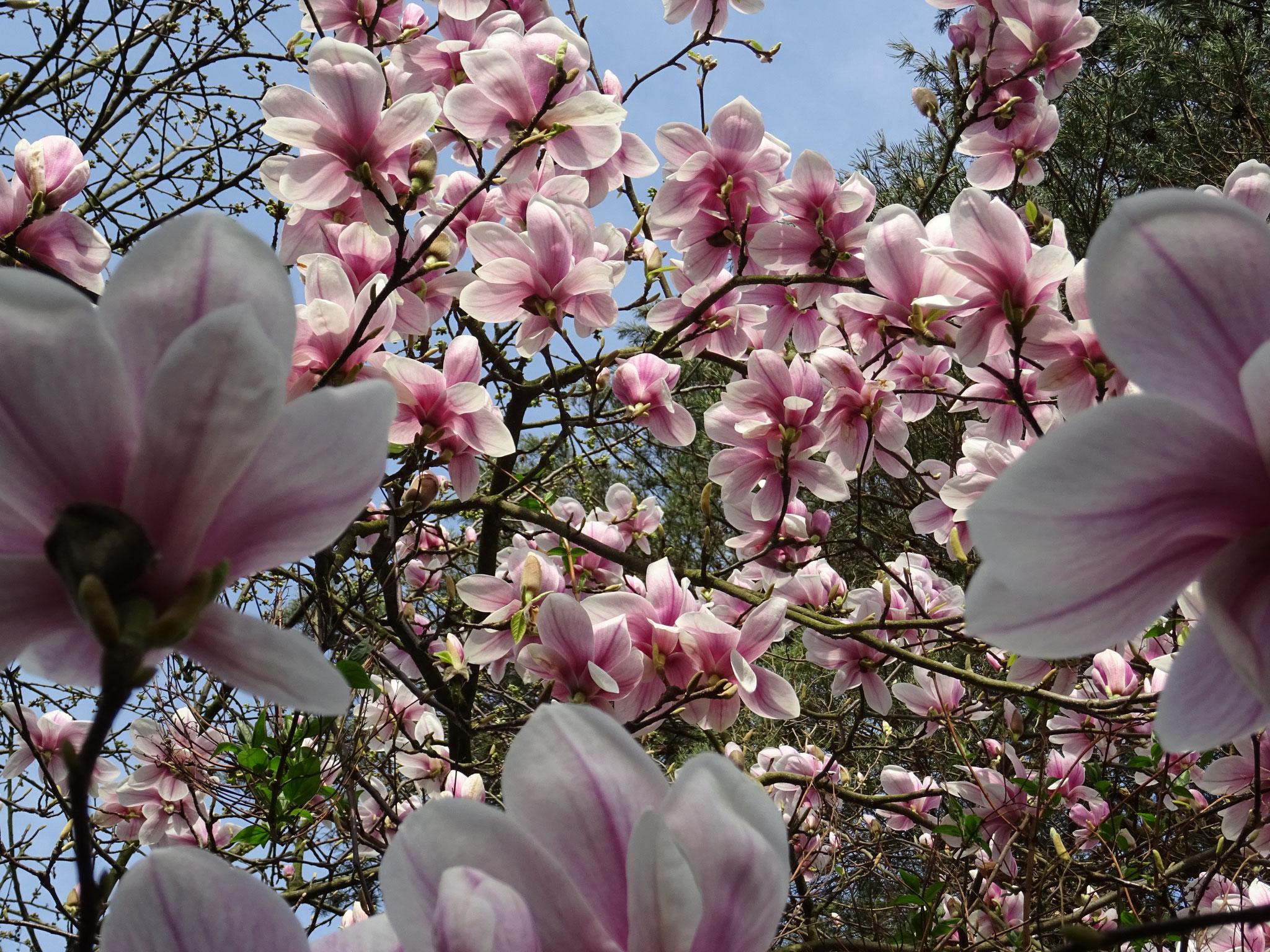 Magnolienblüte im Korfmachergarten