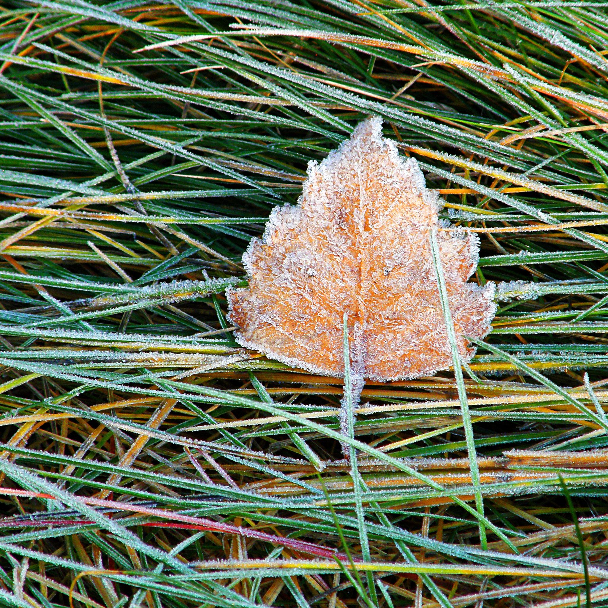 Birkenfrost