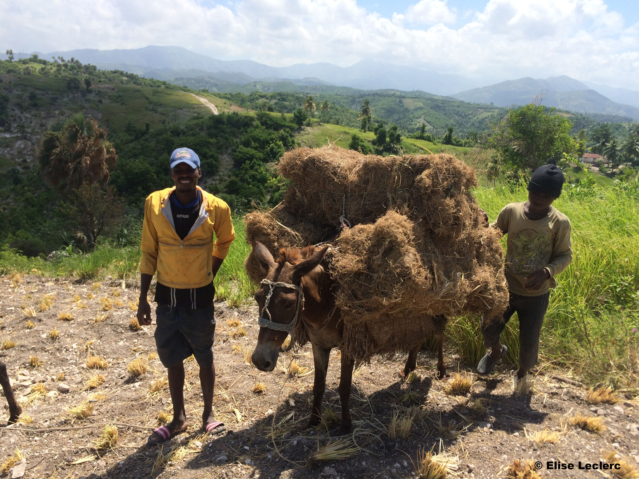Transport des balles de vétiver par âne