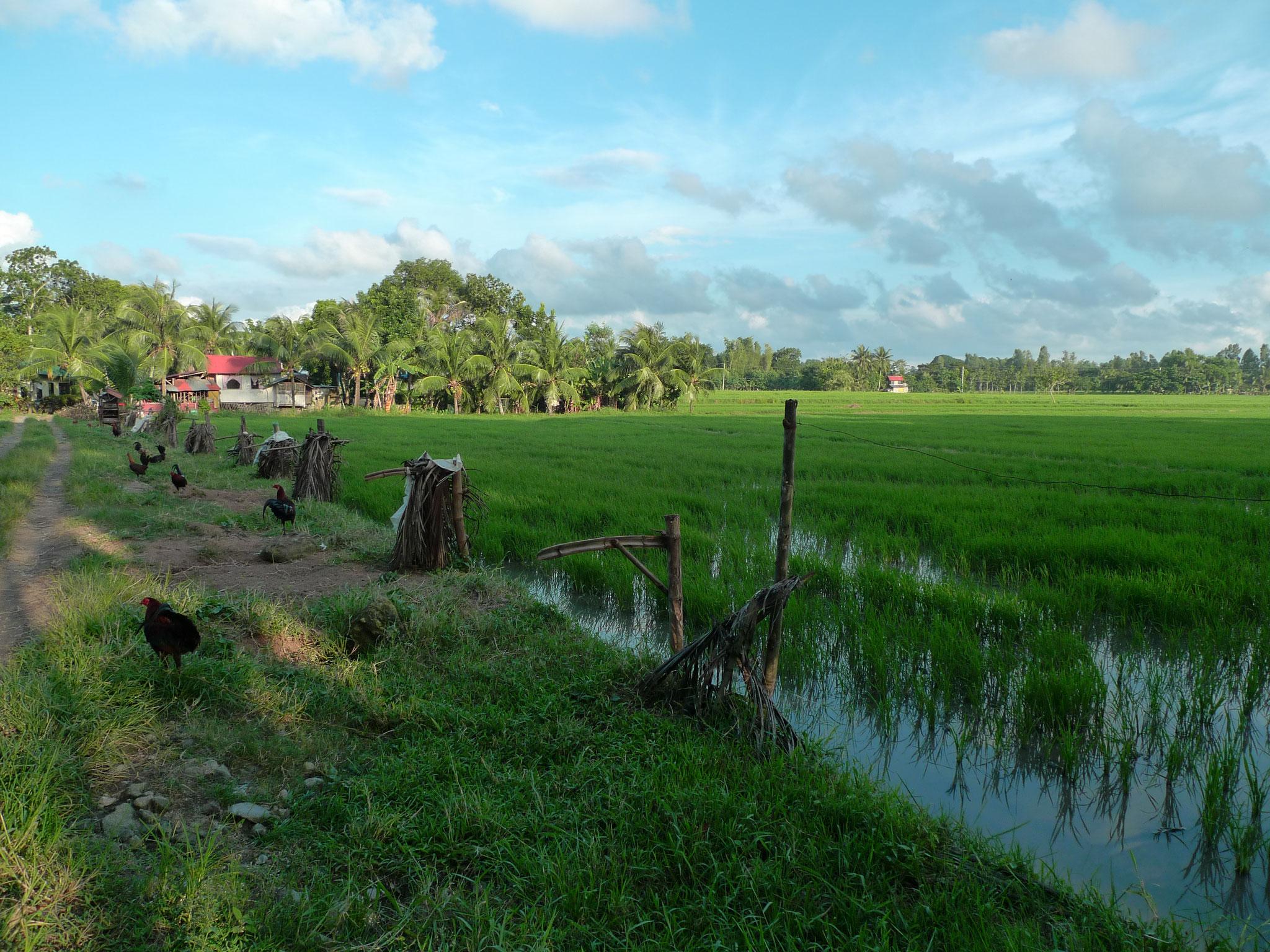 Die Reisfelder vor dem RT