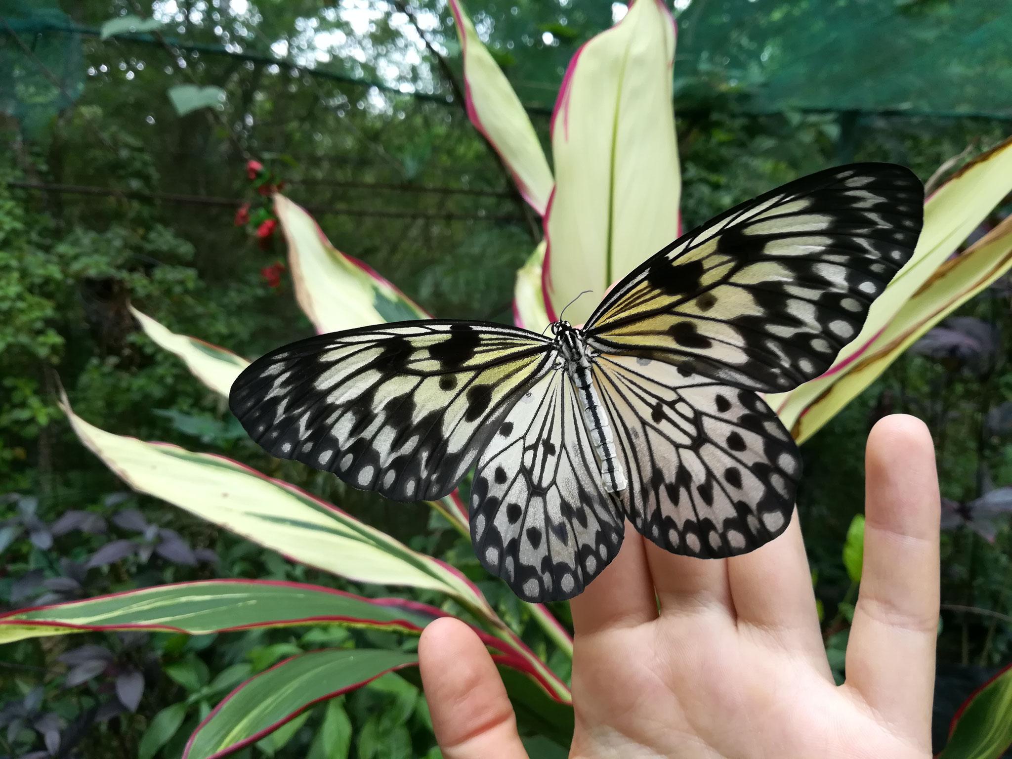 Im Schmetterlingsgarten des Mambukal Resorts auf Negros