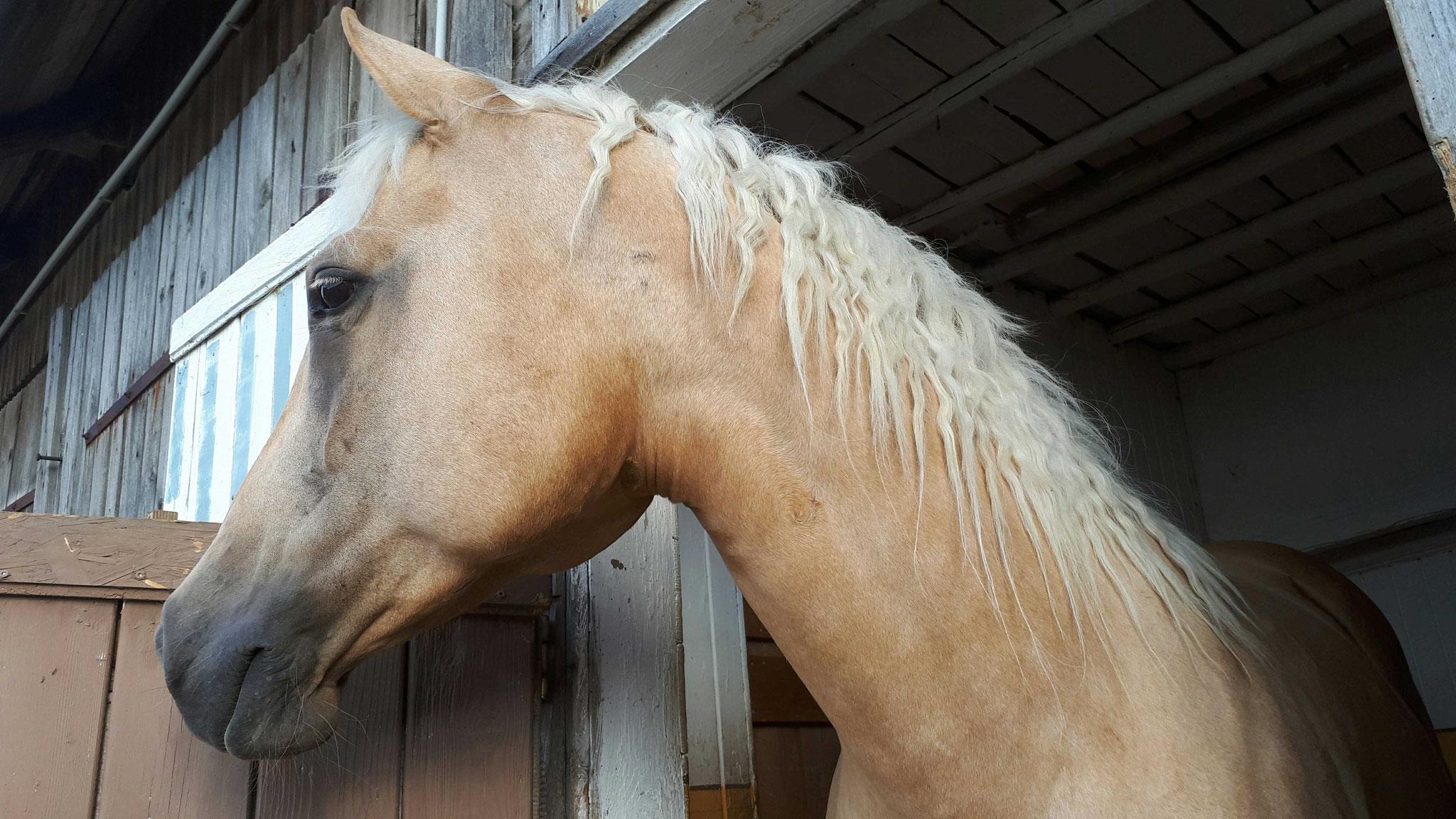 American Quarter Horse- Josy