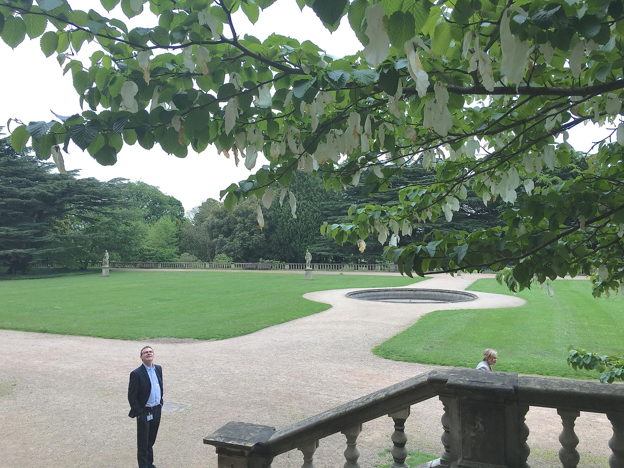 Nigel admires a handkerchief tree, 5-26-16
