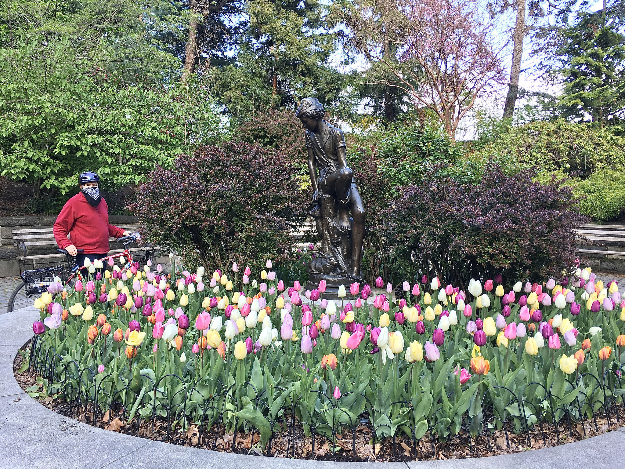 The Bandit 34, he enjoys the tulips in Carl Schurz Park, NYC April 25, 2021