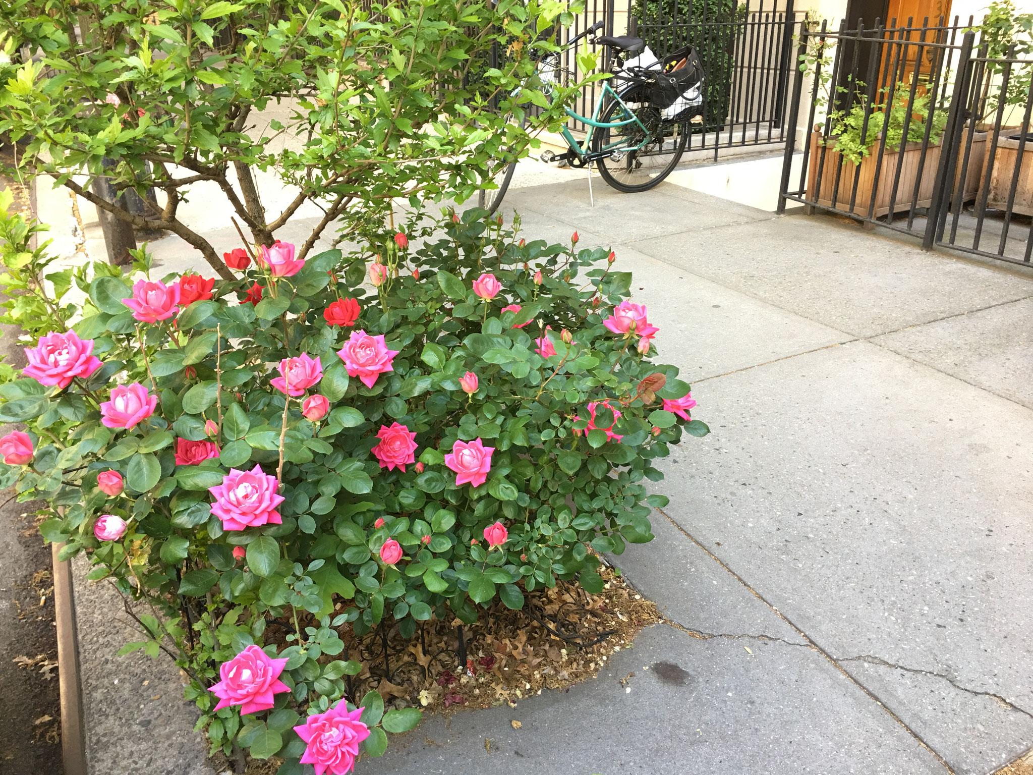 John's roses, NYC, 5-2020