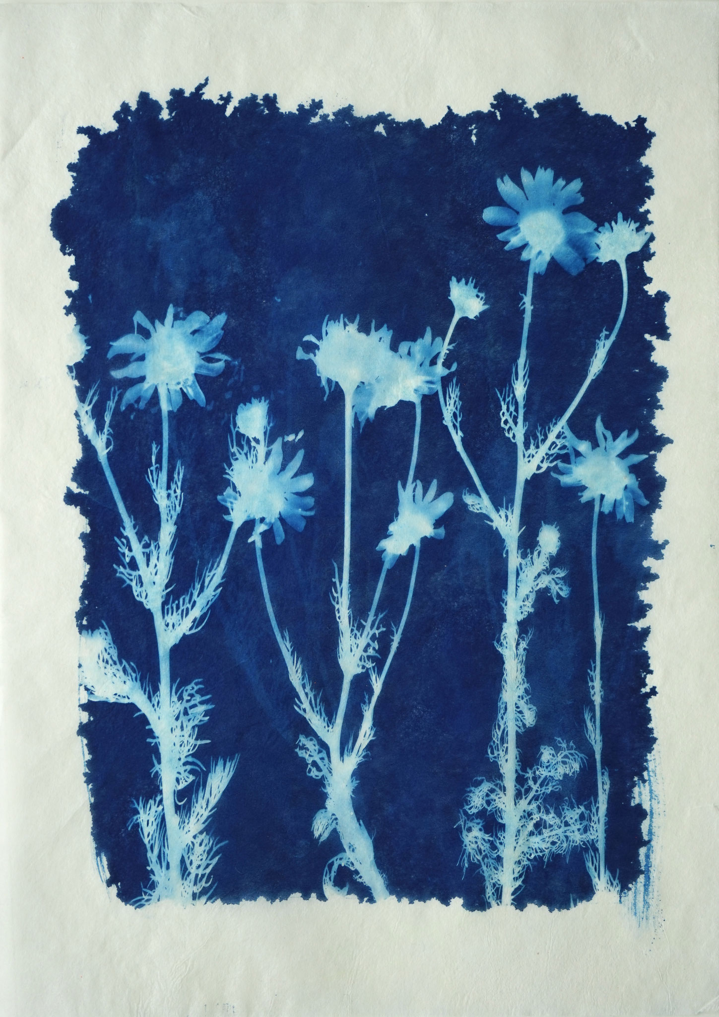 Matricaria inodora (Geruchlose Kamille), Ino Shi Papier, ca 20 x 30