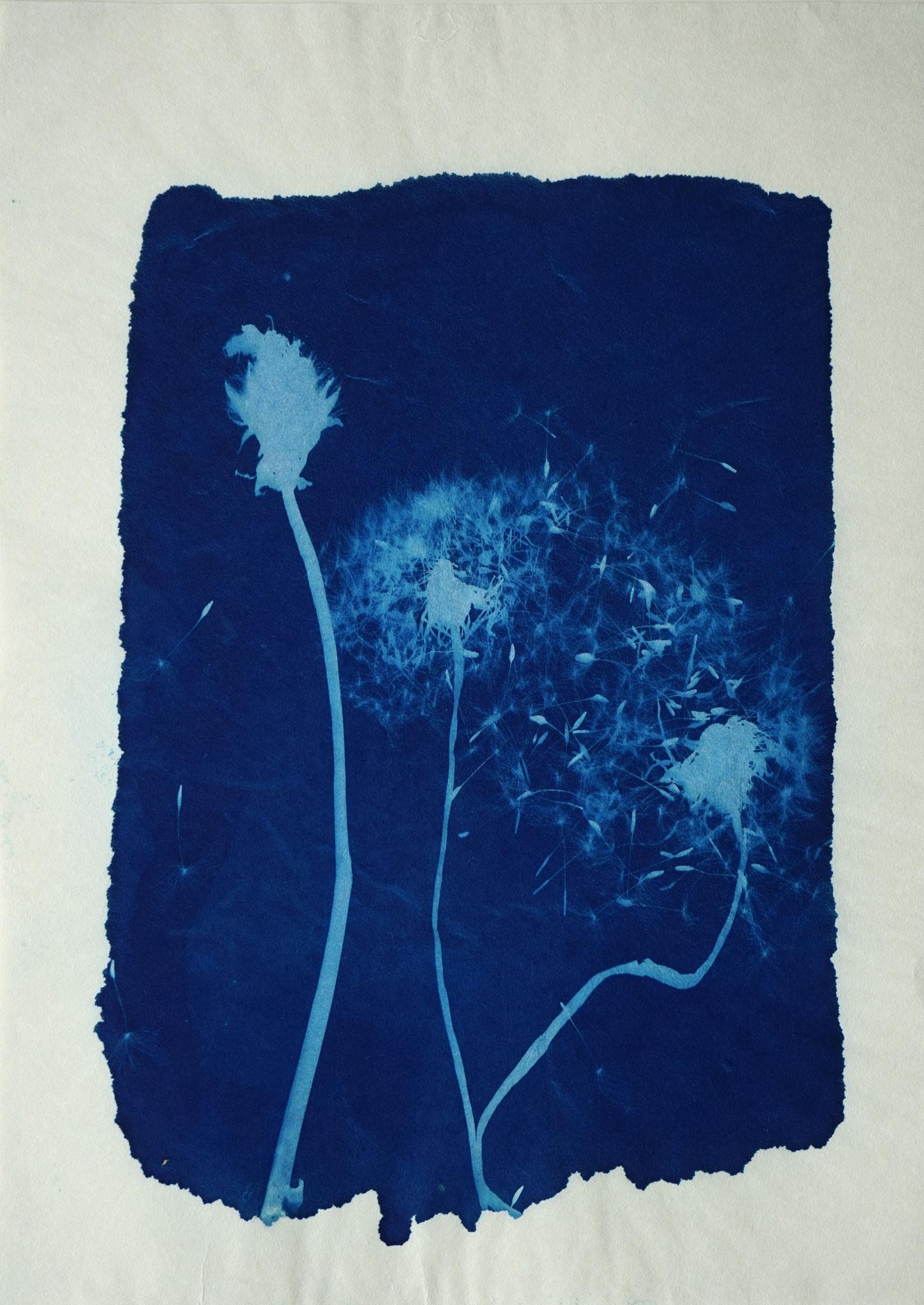 Taraxacum officinale (Löwenzahn), Ino Shi Papier, ca. 20 x 30