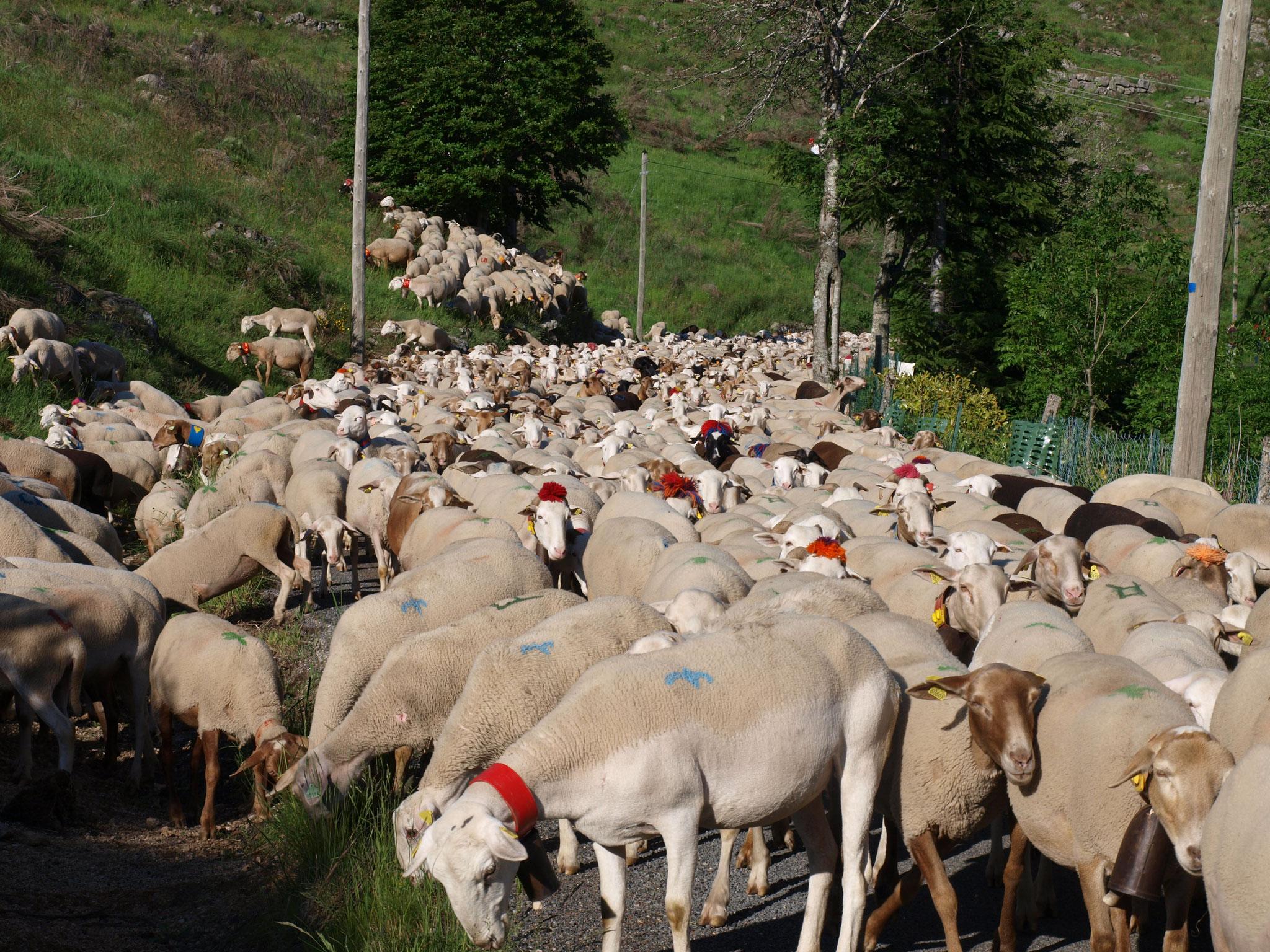 Transhumance du Gard aux Cévennes tous les étés