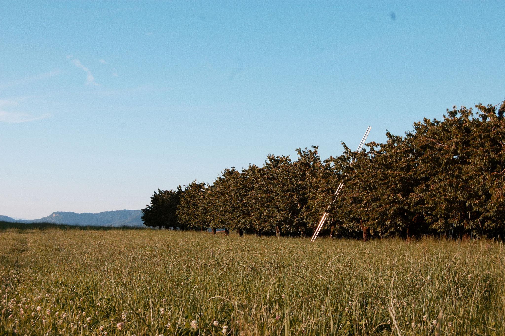 Kirschen Hochstammbäume im Sommer Hof Ebnet
