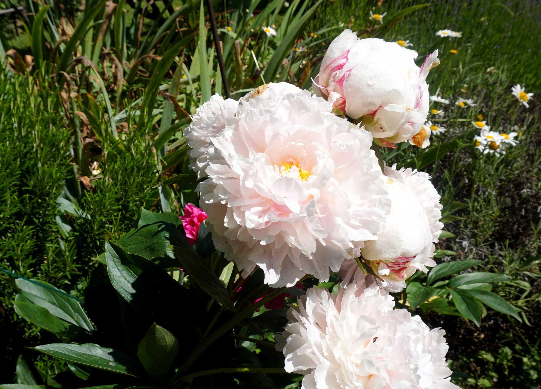 Pivoines en fleur