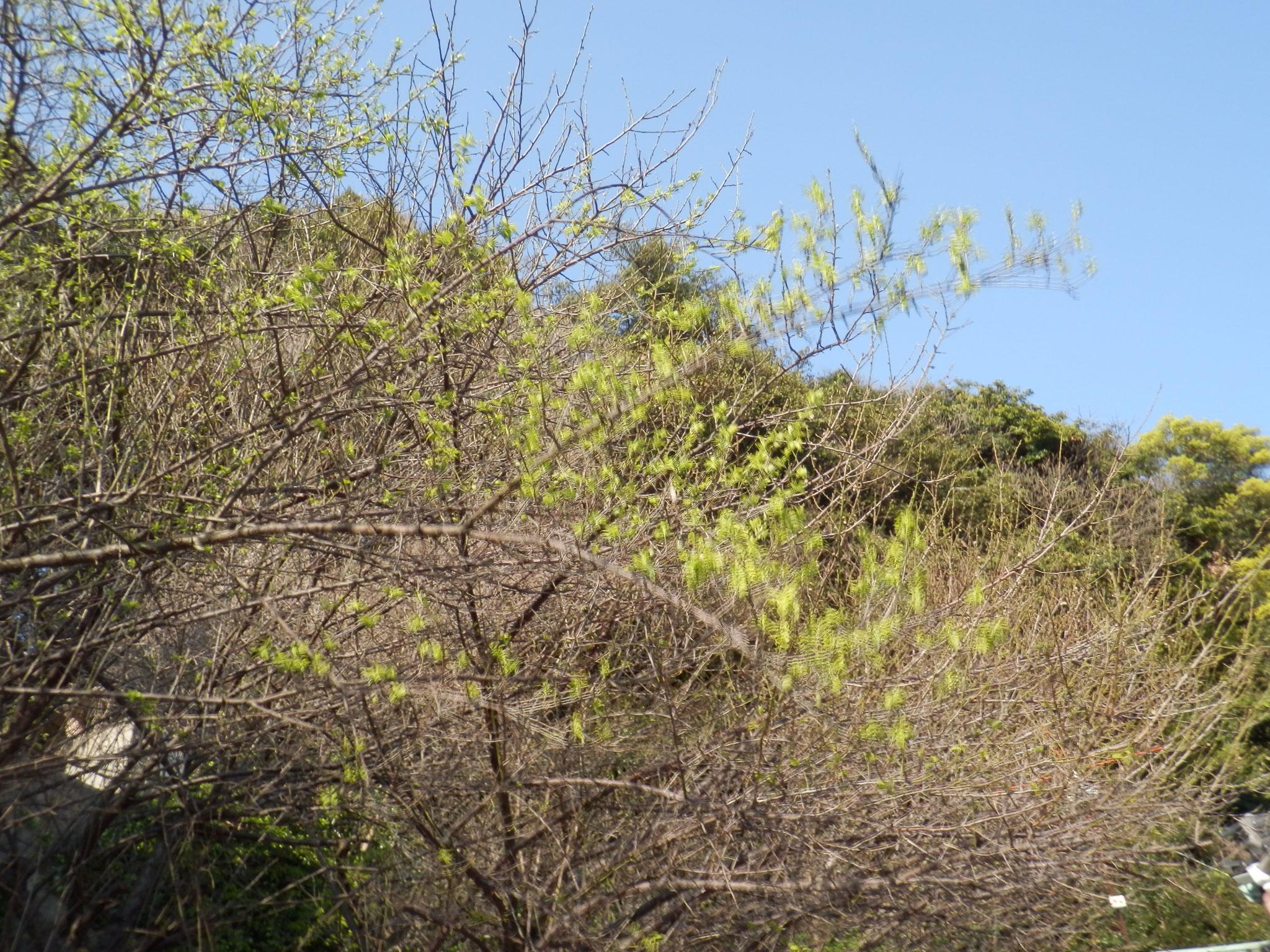 暖かくなってきて、新緑の梅の木になりました。