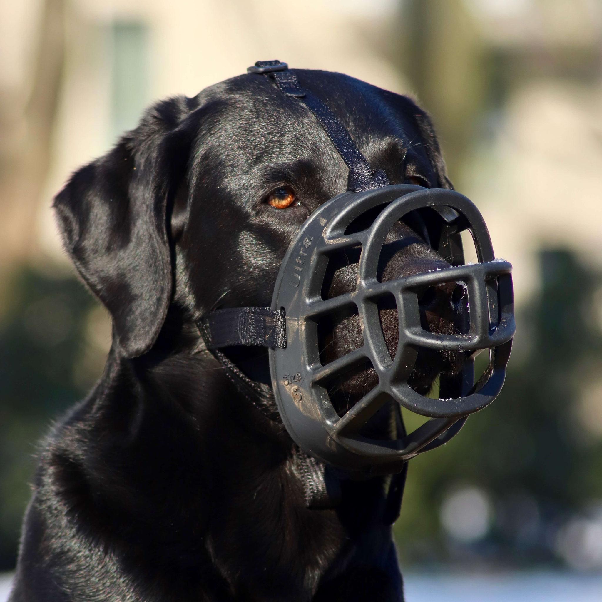 Jeder Hund sollte aus unterschiedlichen Gründen einen Maulkorb entspannt tragen können
