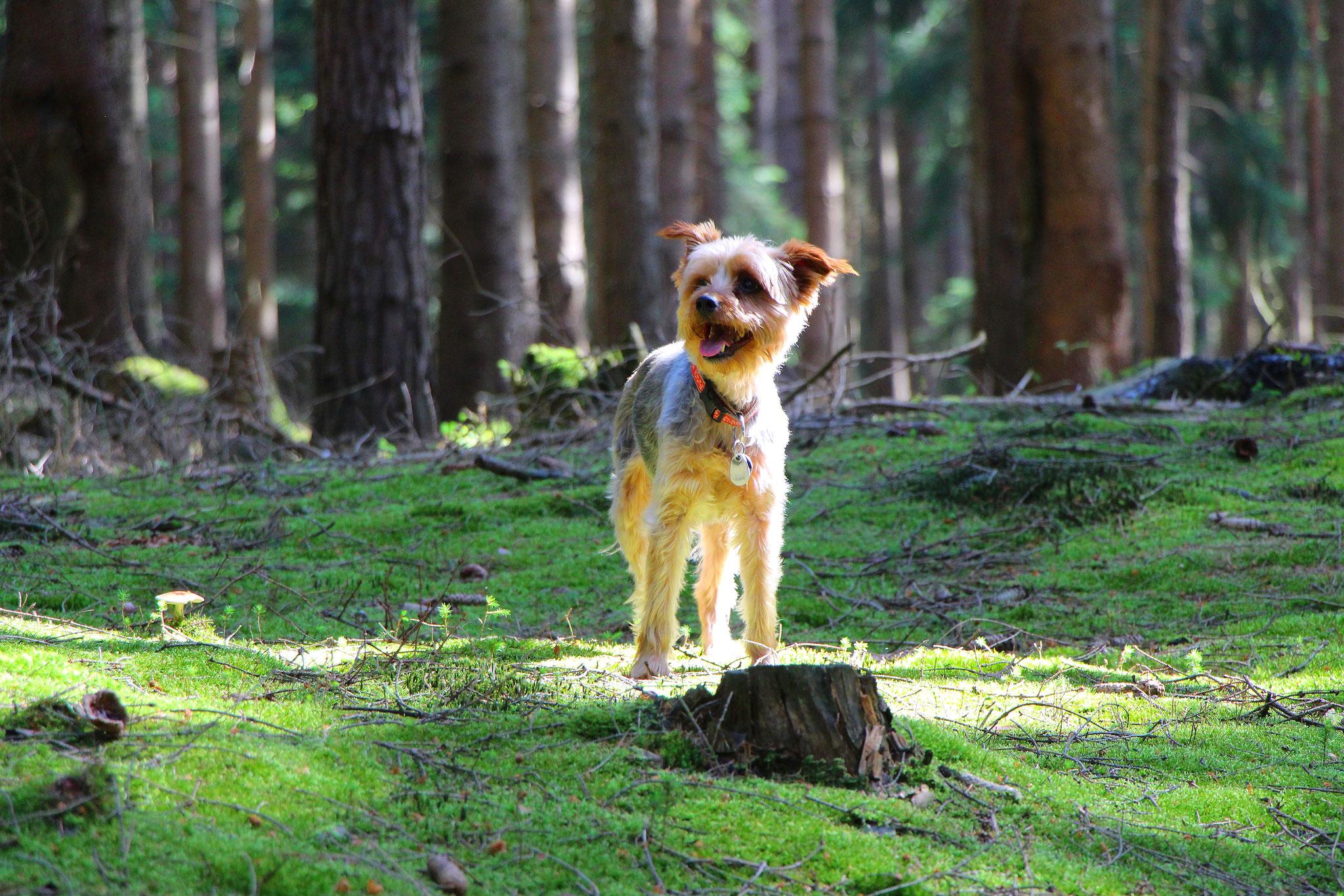 Urlaubsgast Snoopy erkundet den Wald