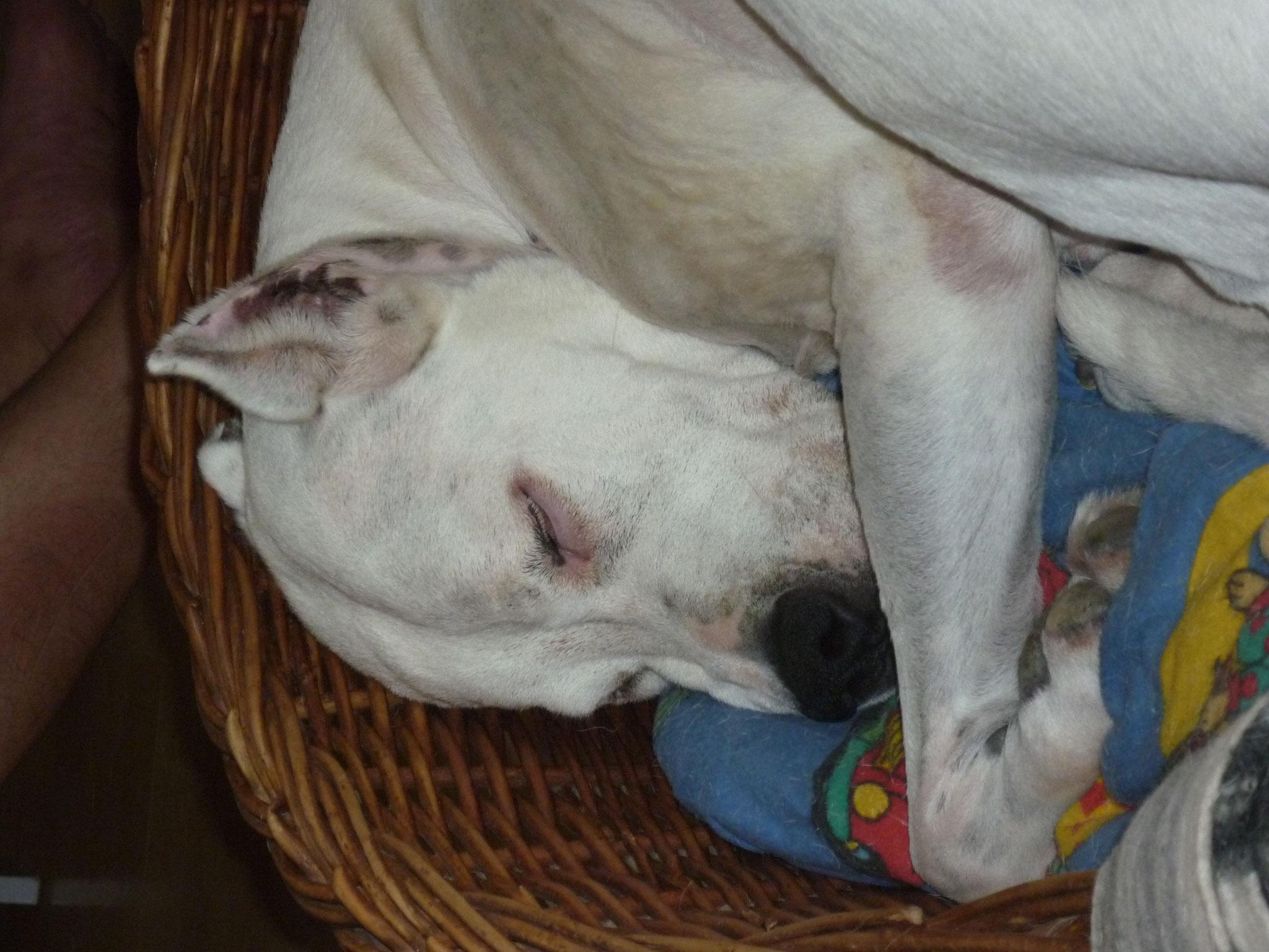 Dogo Argentino - Ohren kupiert aus dem Tierheim