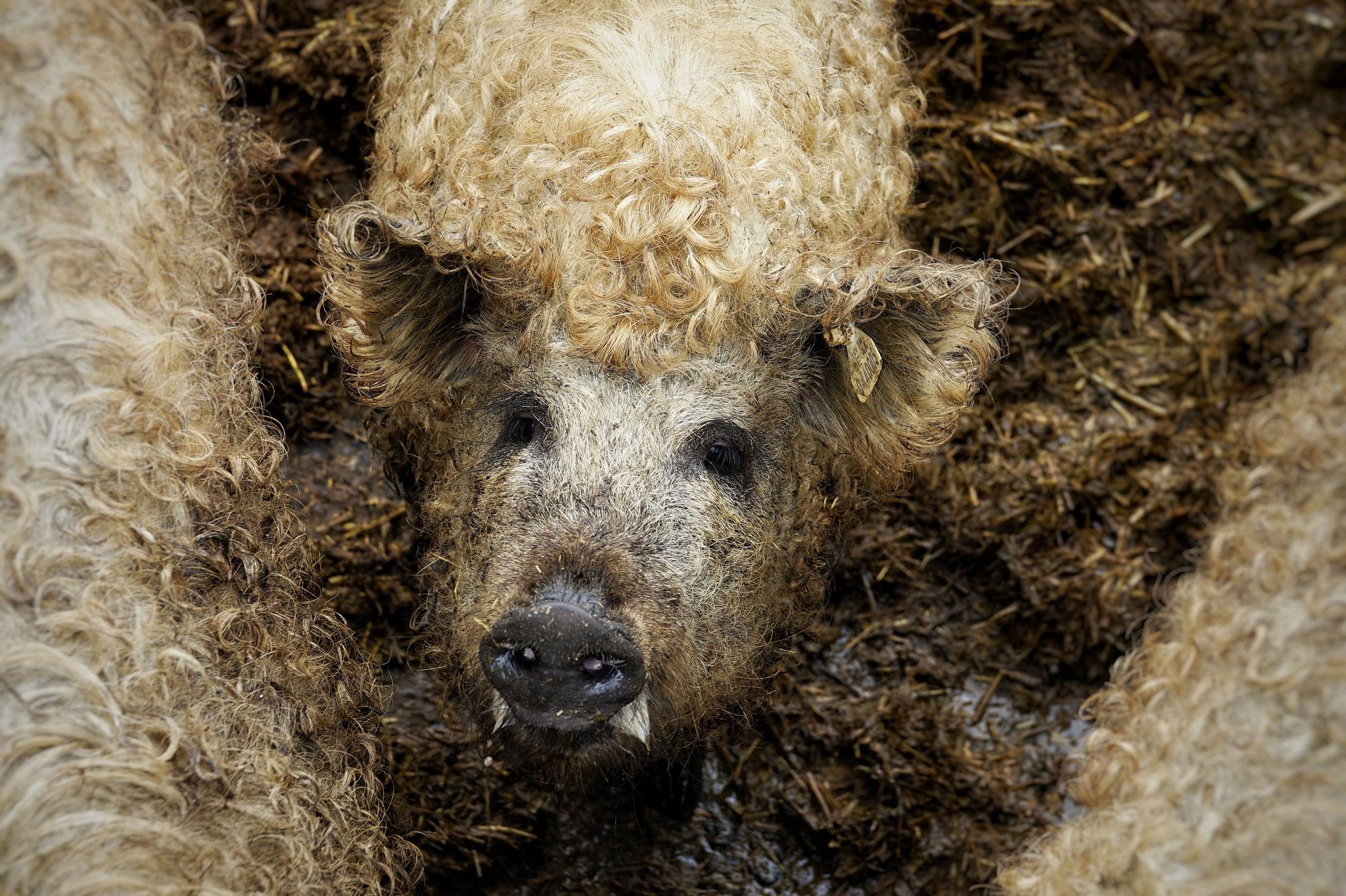 Unsere Wollschweine