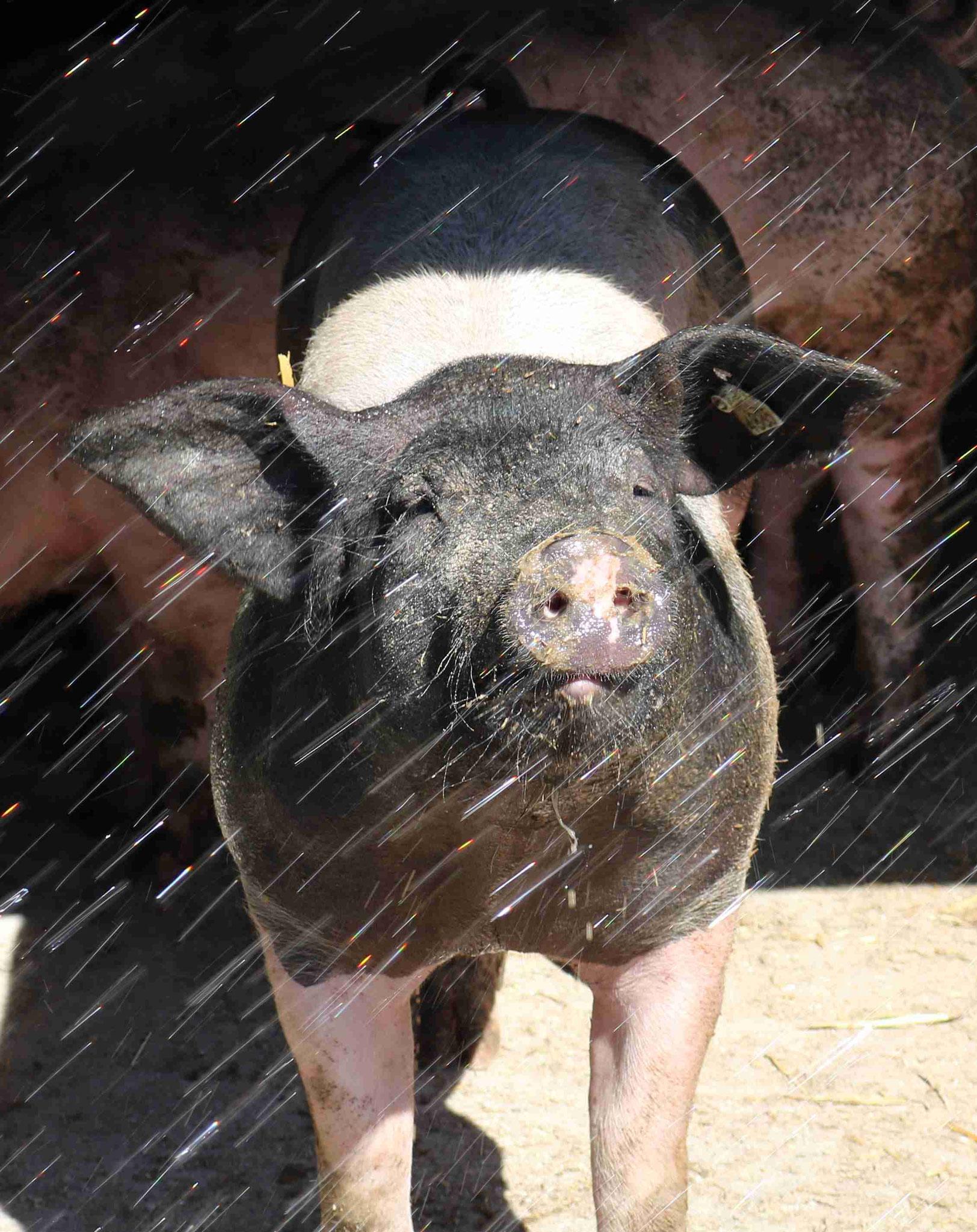 Duschende Schweinchen