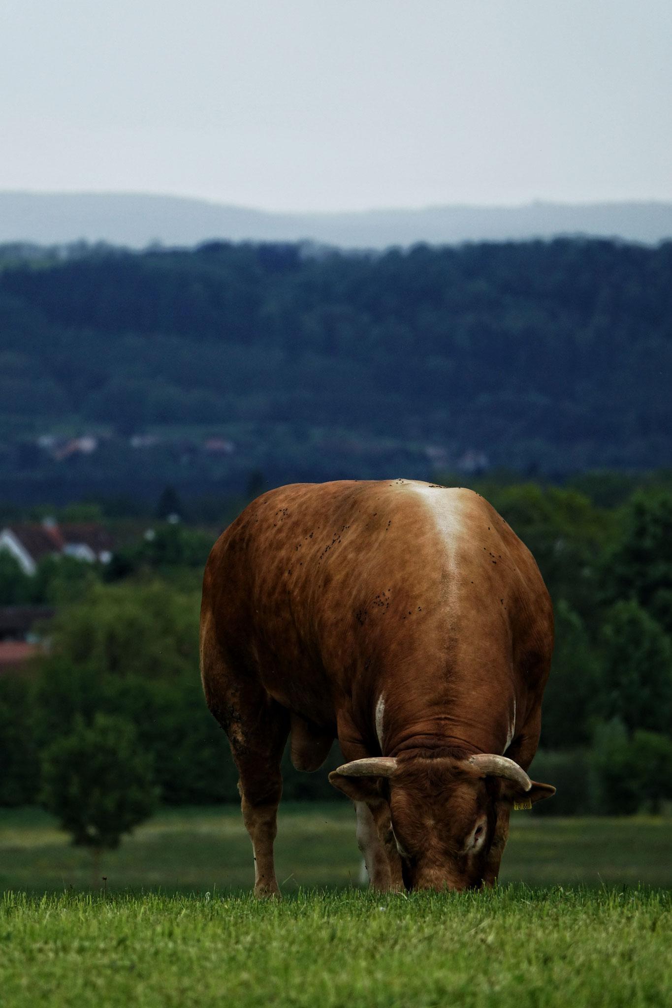Unser Limousinbulle